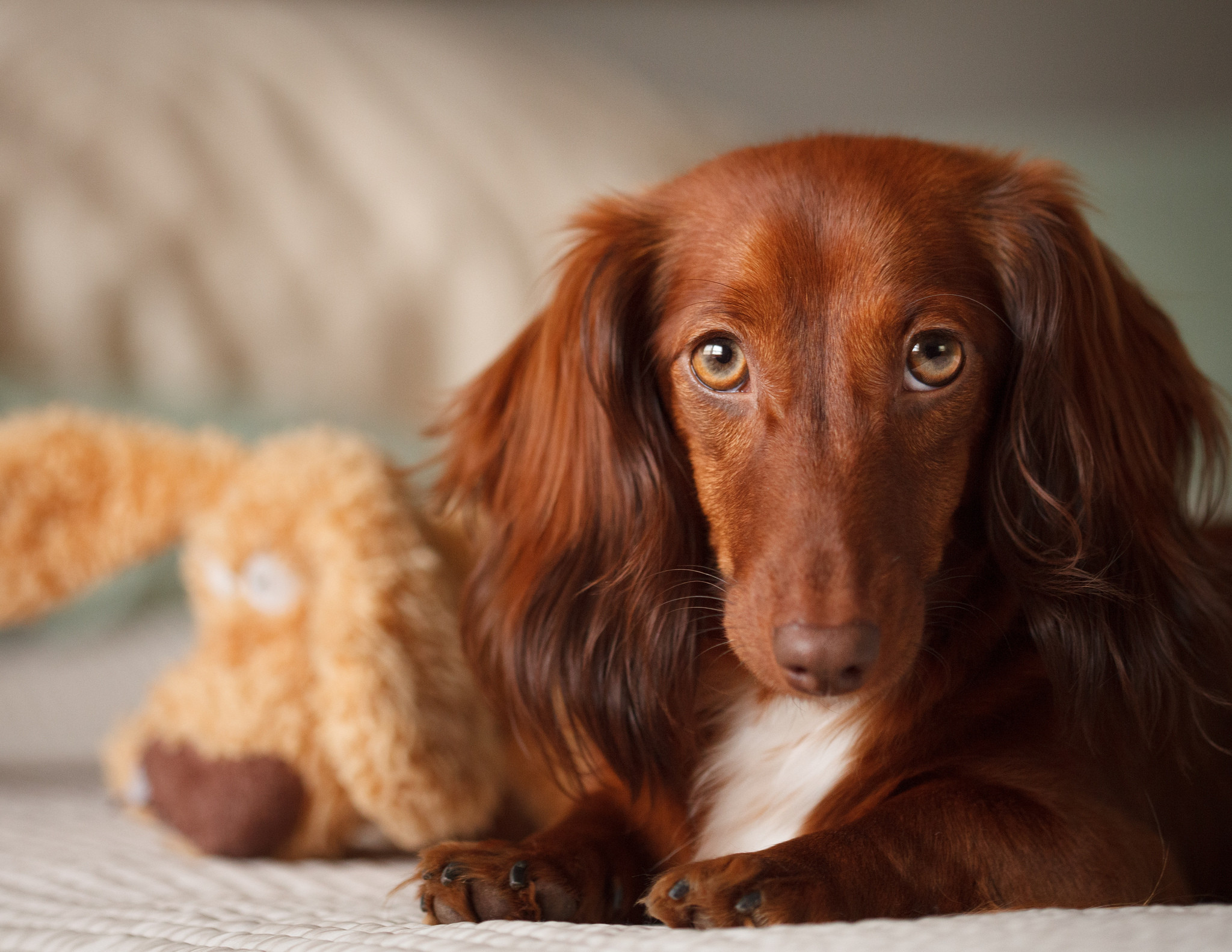 2048x1583 Android Wallpaper Dachshund