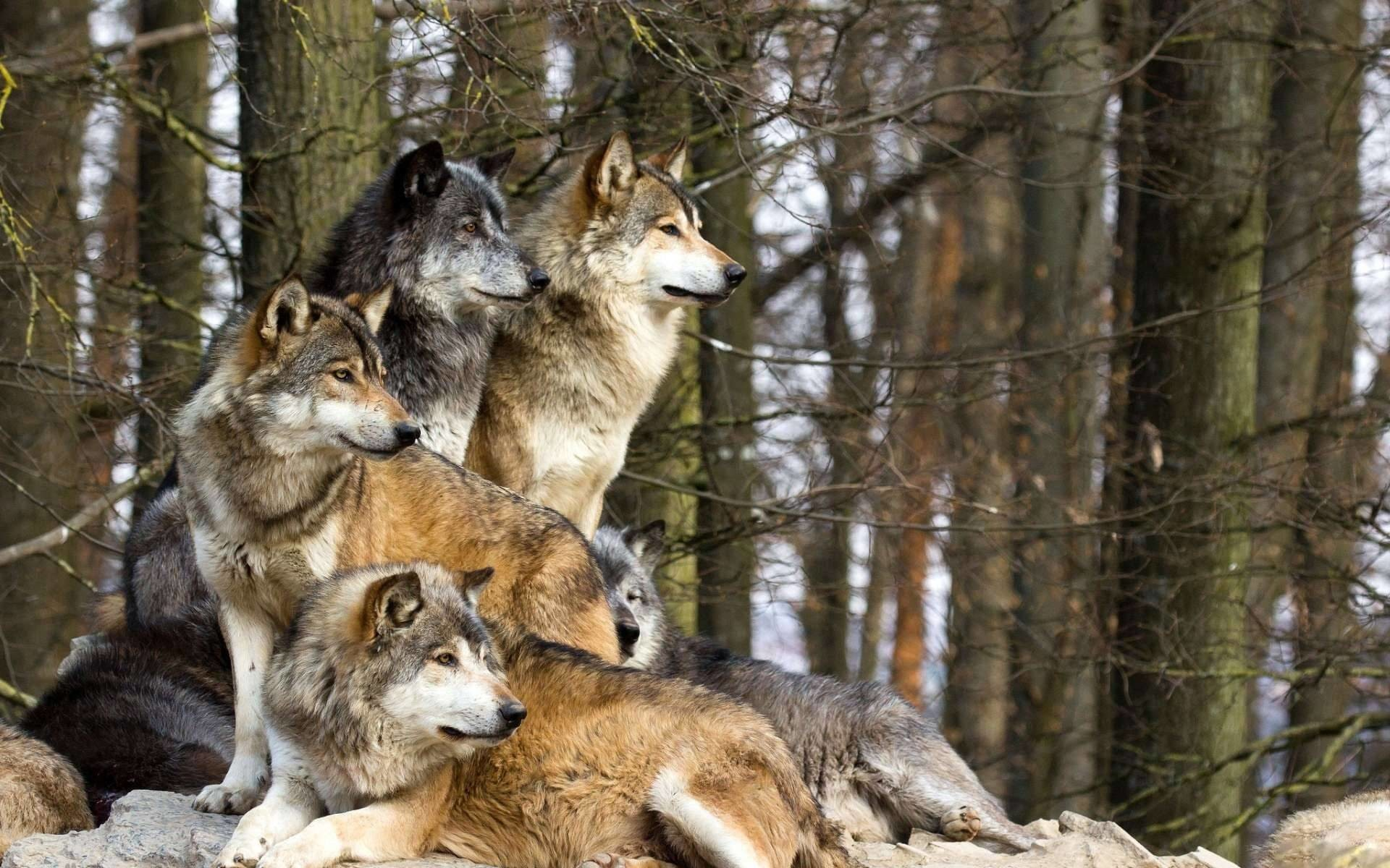 1920x1200 family of wolves, also known as a pack. Fit for a wallpaper.