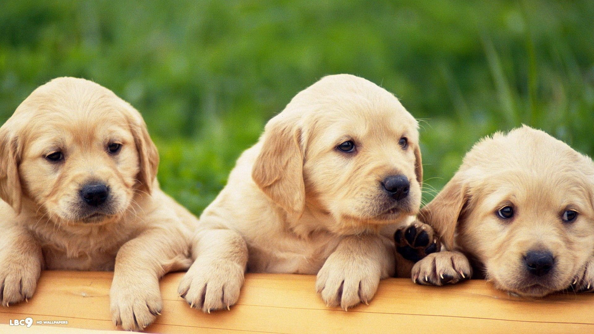 Download Wallpaper Black Adorable Dog - 881331-widescreen-black-lab-wallpaper-1920x1080  Perfect Image Reference_24387  .jpg