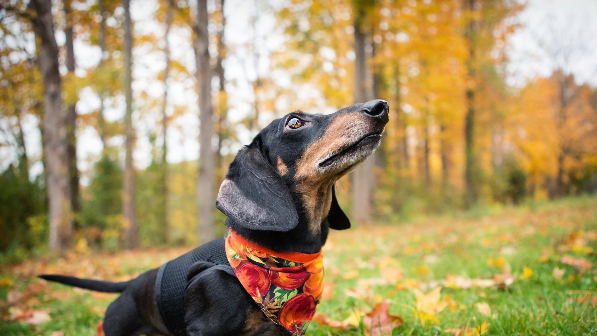 1920x1080  Wallpaper dachshund, dog, shawl, grass, leaves, autumn