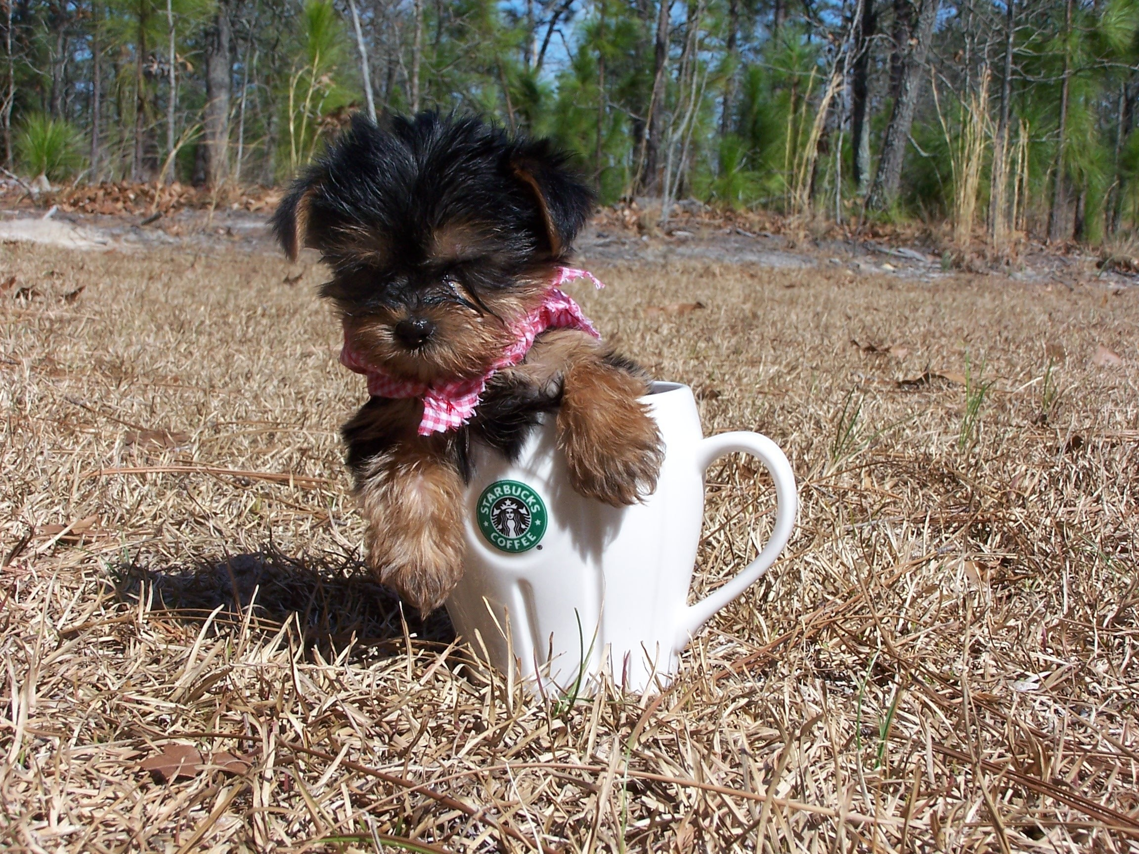 2304x1728 Yorkies images little baby HD wallpaper and background photos