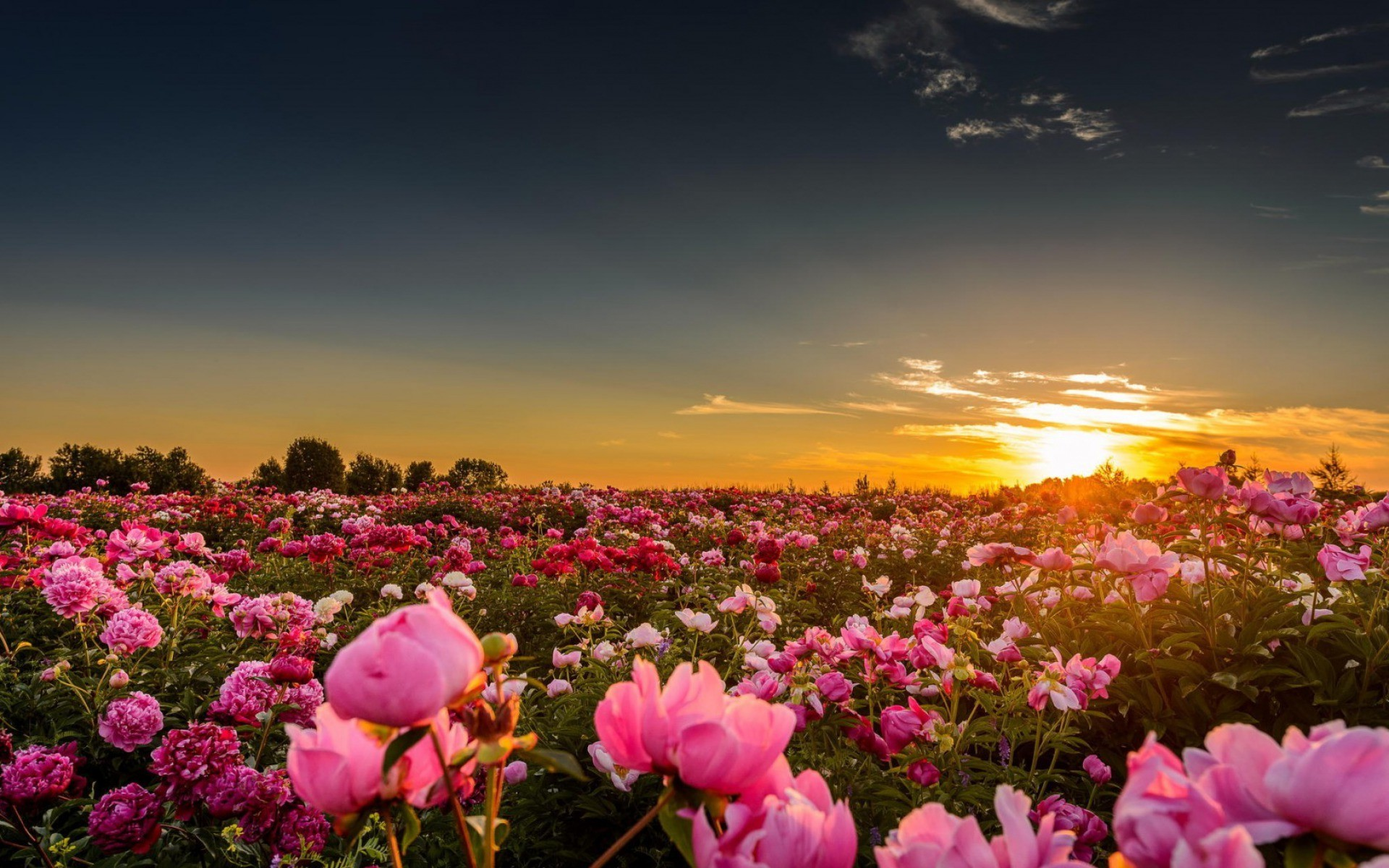 1920x1200 wallpapers pink peony desktop - photo #49. sunset, Sunlight, Flowers, Rose,  Pink Roses, Nature .