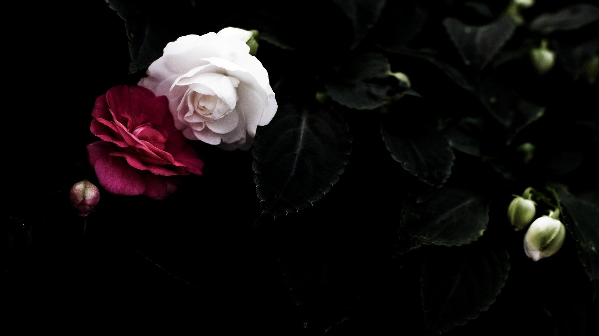 Dark Red Roses Wallpaper (59+ images)