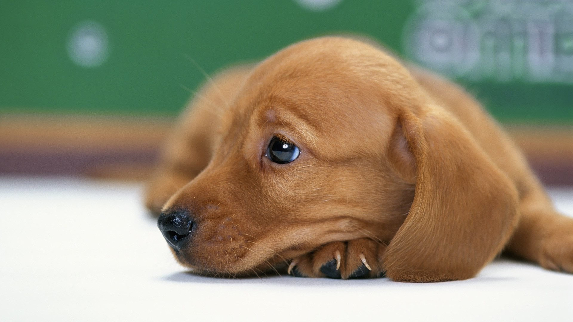 1920x1080 wallpaper.wiki-Dachshund-Desktop-Wallpaper-PIC-WPB0011089