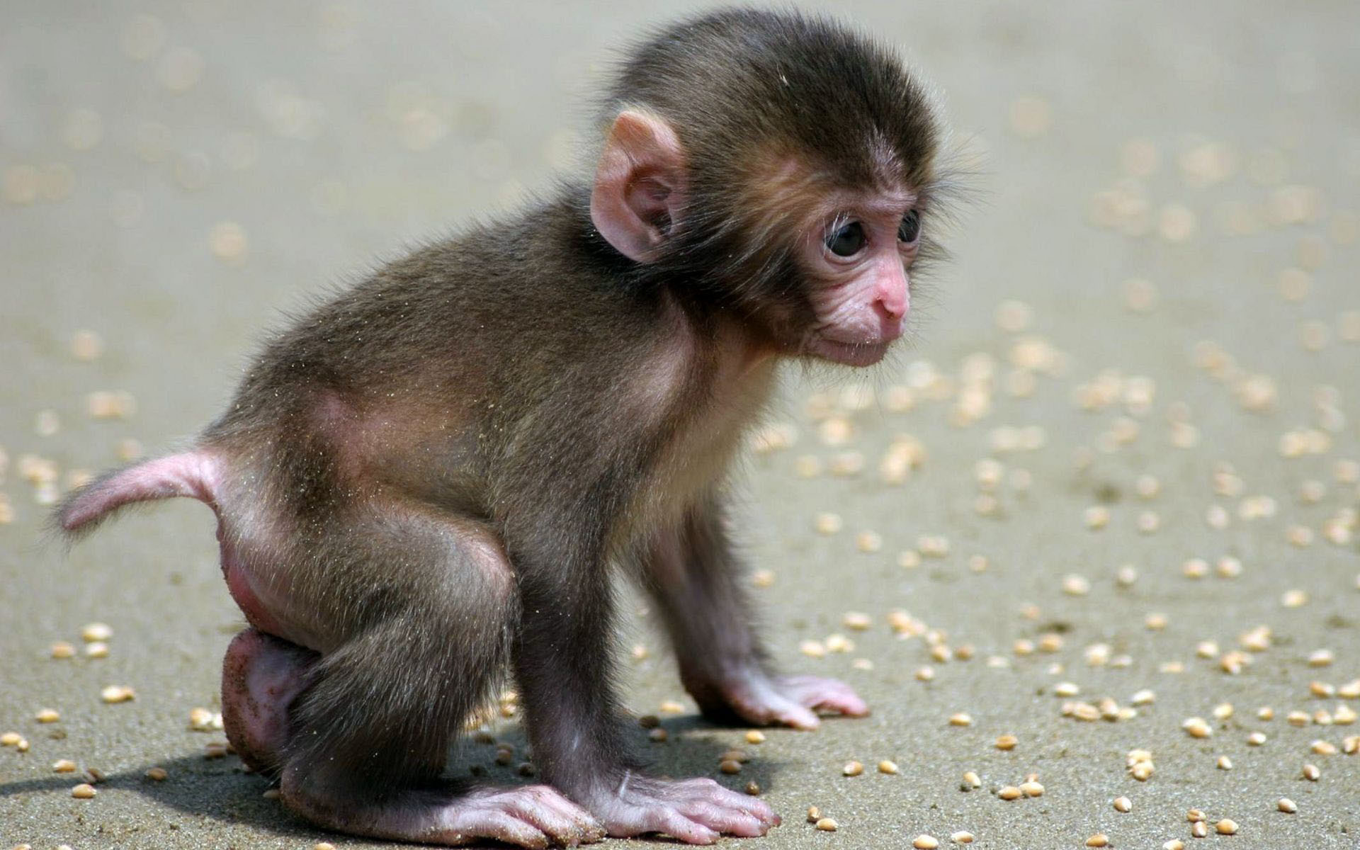 1920x1200 Monkey HD Wallpapers | Monkey Pictures Free |