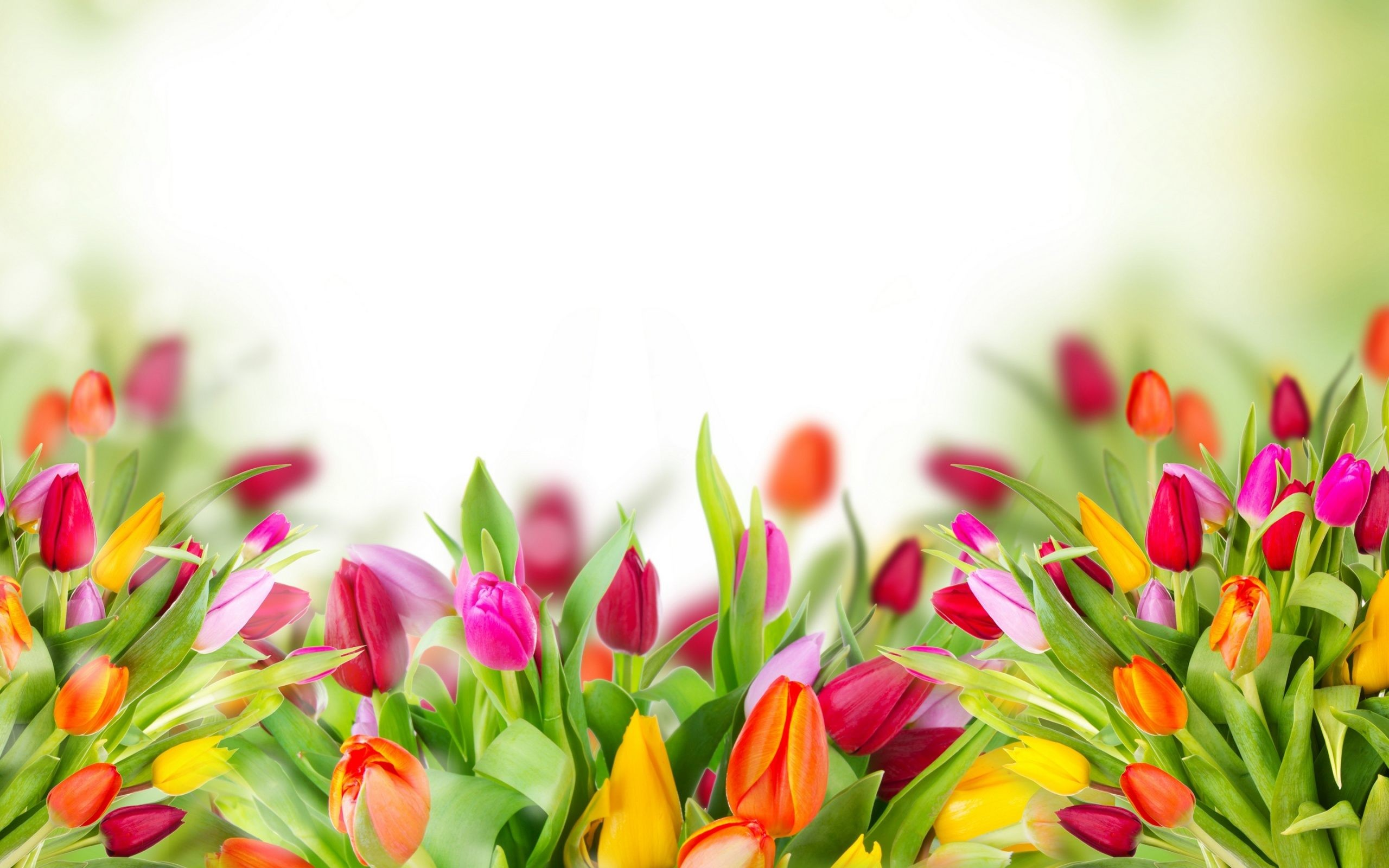 "2560x1600 Search Results for ""tulips flower wallpaper"" – Adorable Wallpapers"
