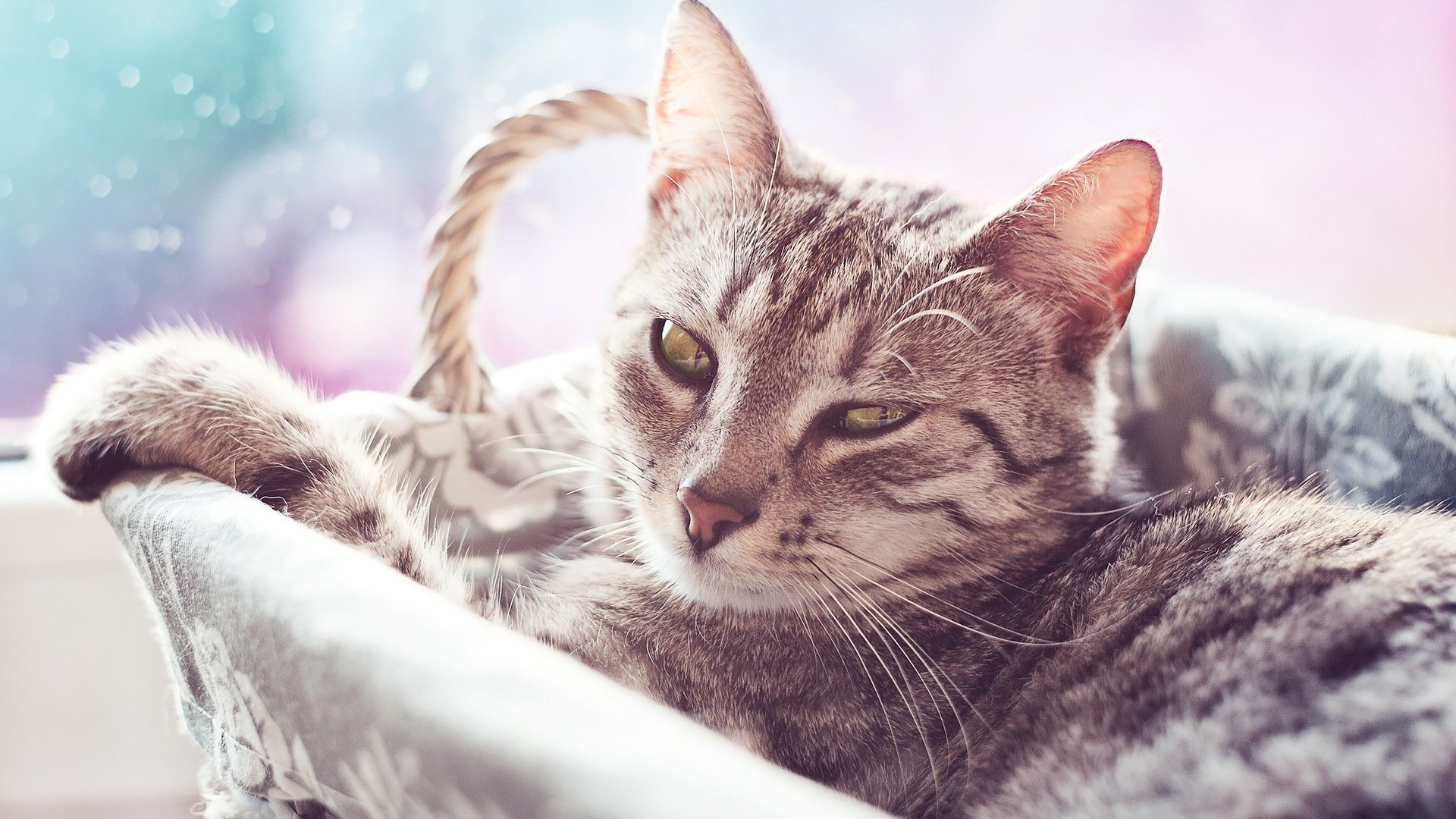 1920x1080 Felines Tag - Animals Cats Cute Felines Desktop Wallpapers for HD 16:9 High  Definition