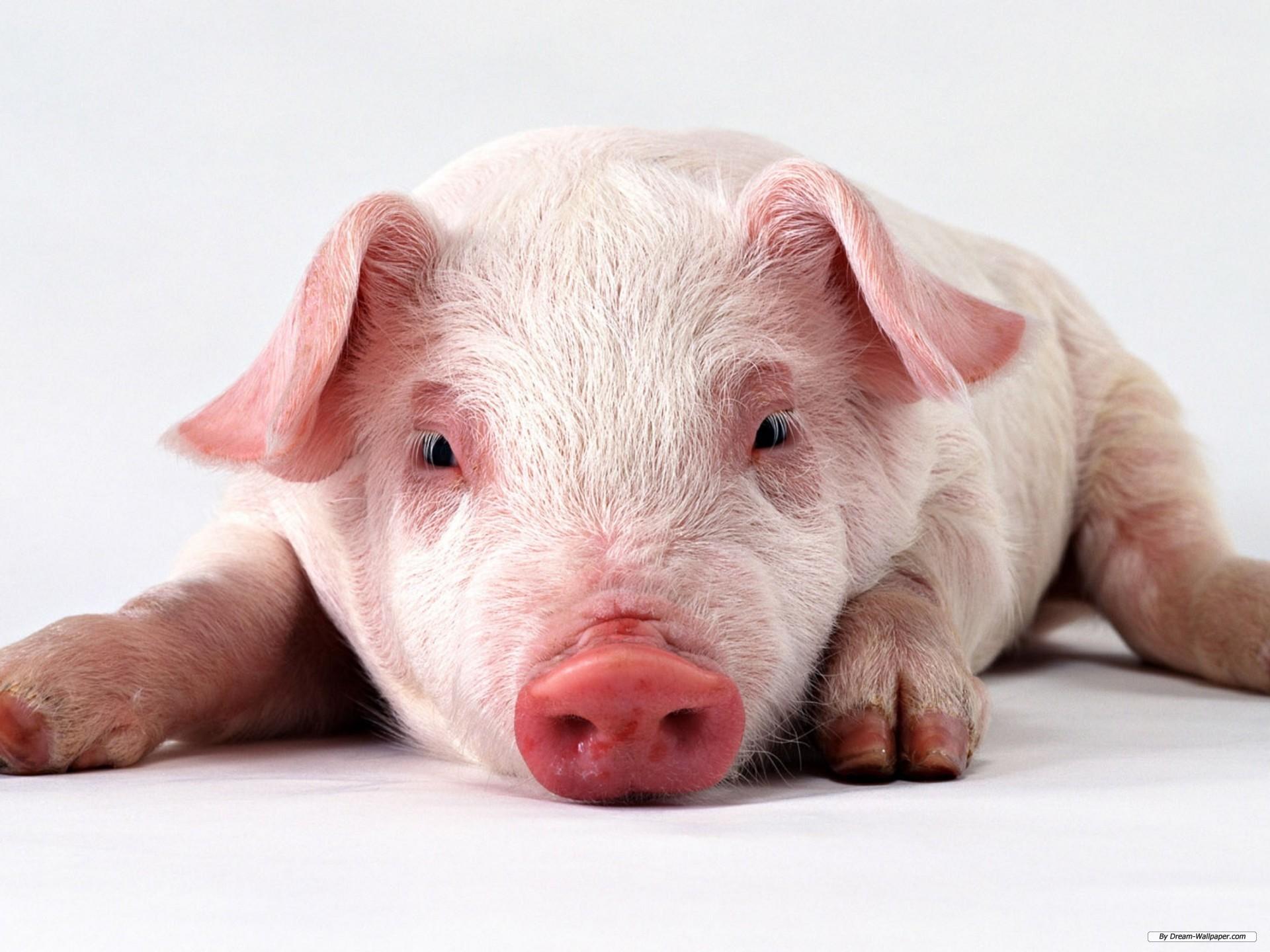 pig wallpaper 62 images