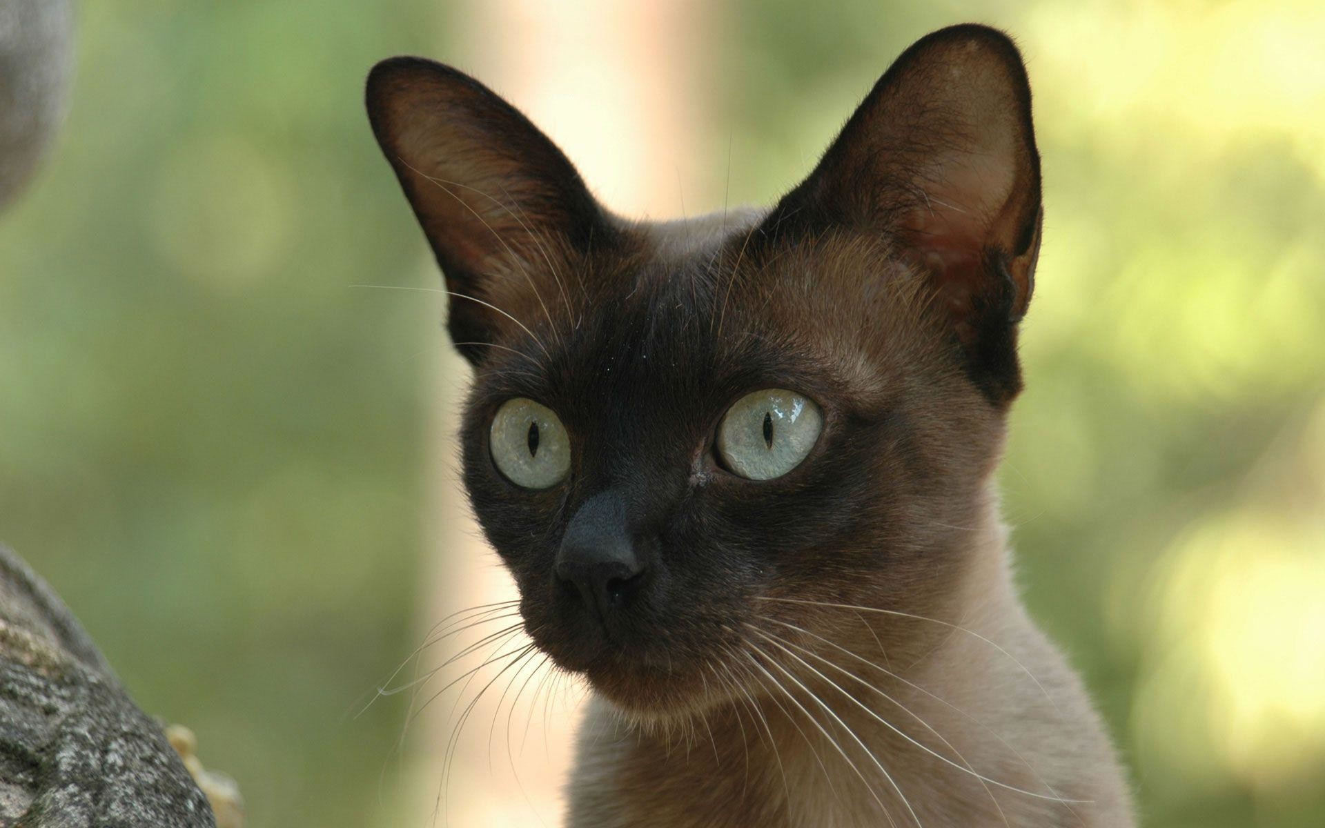 1920x1200 Download Siamese Cats Wallpaper 1  (2208) Full Size .