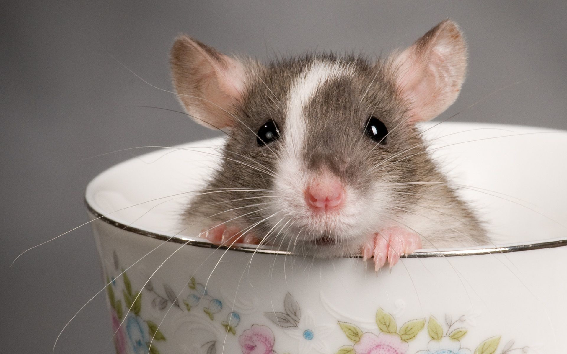 1920x1200 Download Rat Teacup Animal Cute Rodent Wallpaper