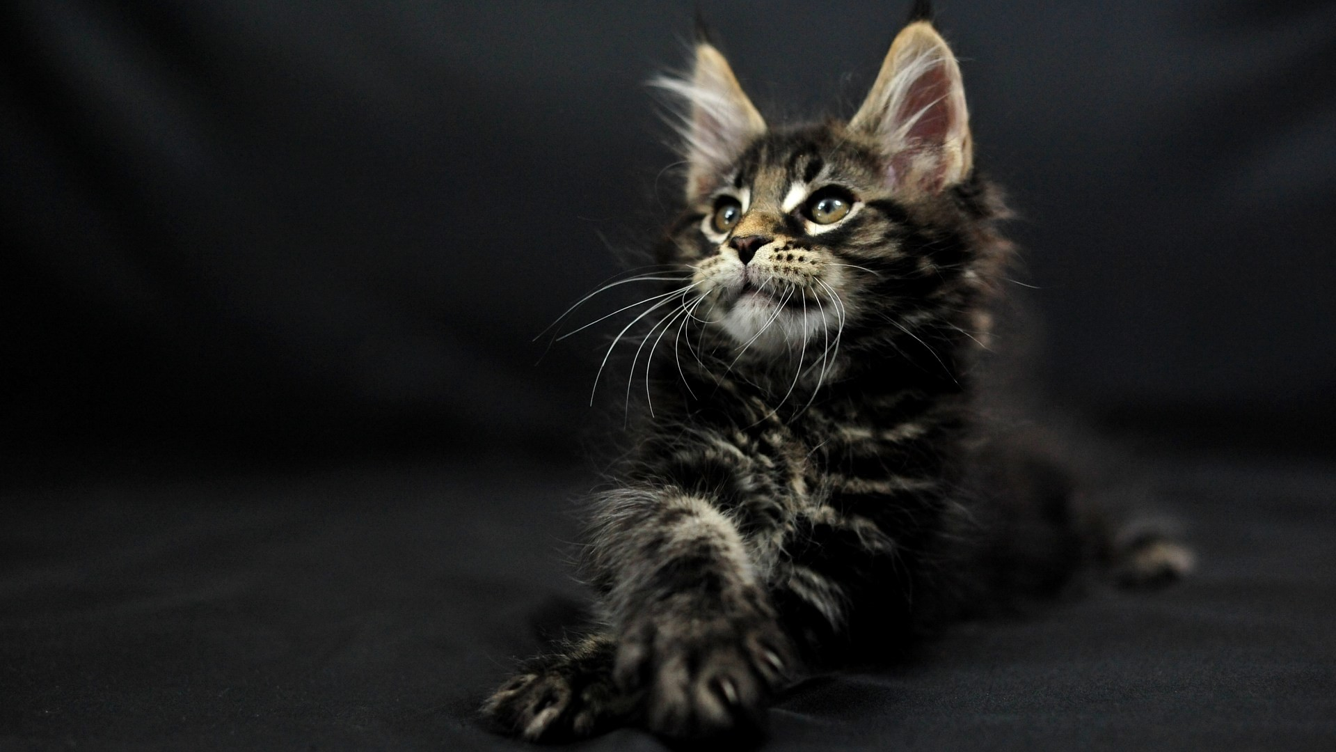 1920x1080 Computer Maine Coon Wallpapers, Desktop Backgrounds  px