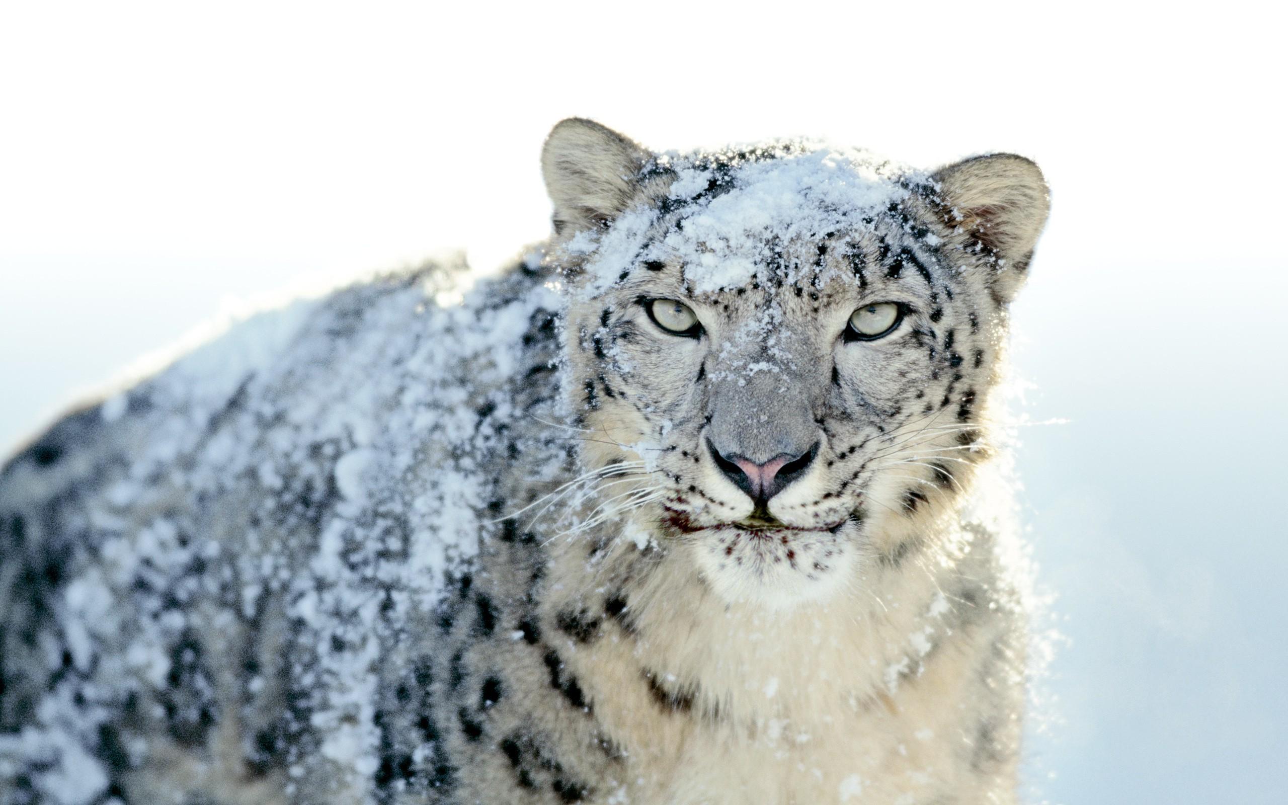 Mac Wallpaper Snow Leopard (64+ images)