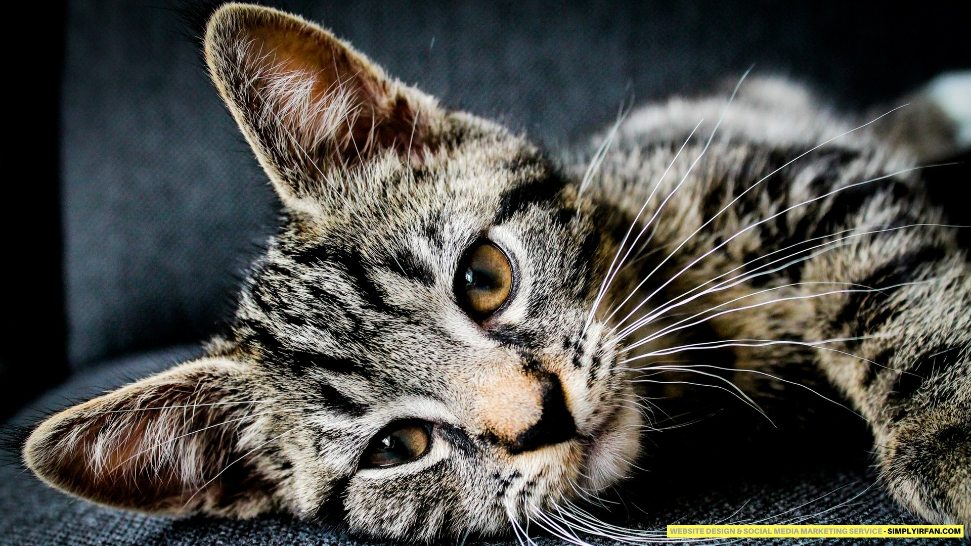 Hd Cat Wallpapers 1920x1080 69 Images