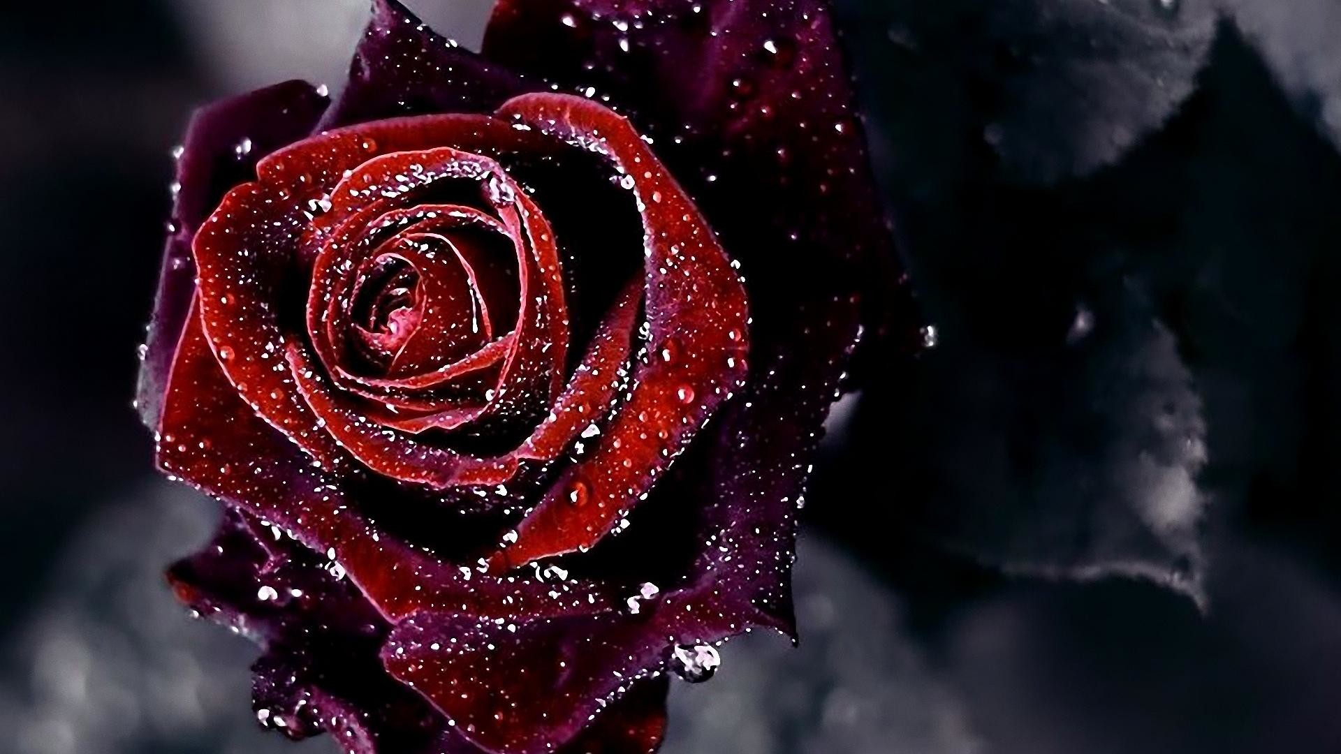 Black And Red Rose Wallpaper (63+ Images