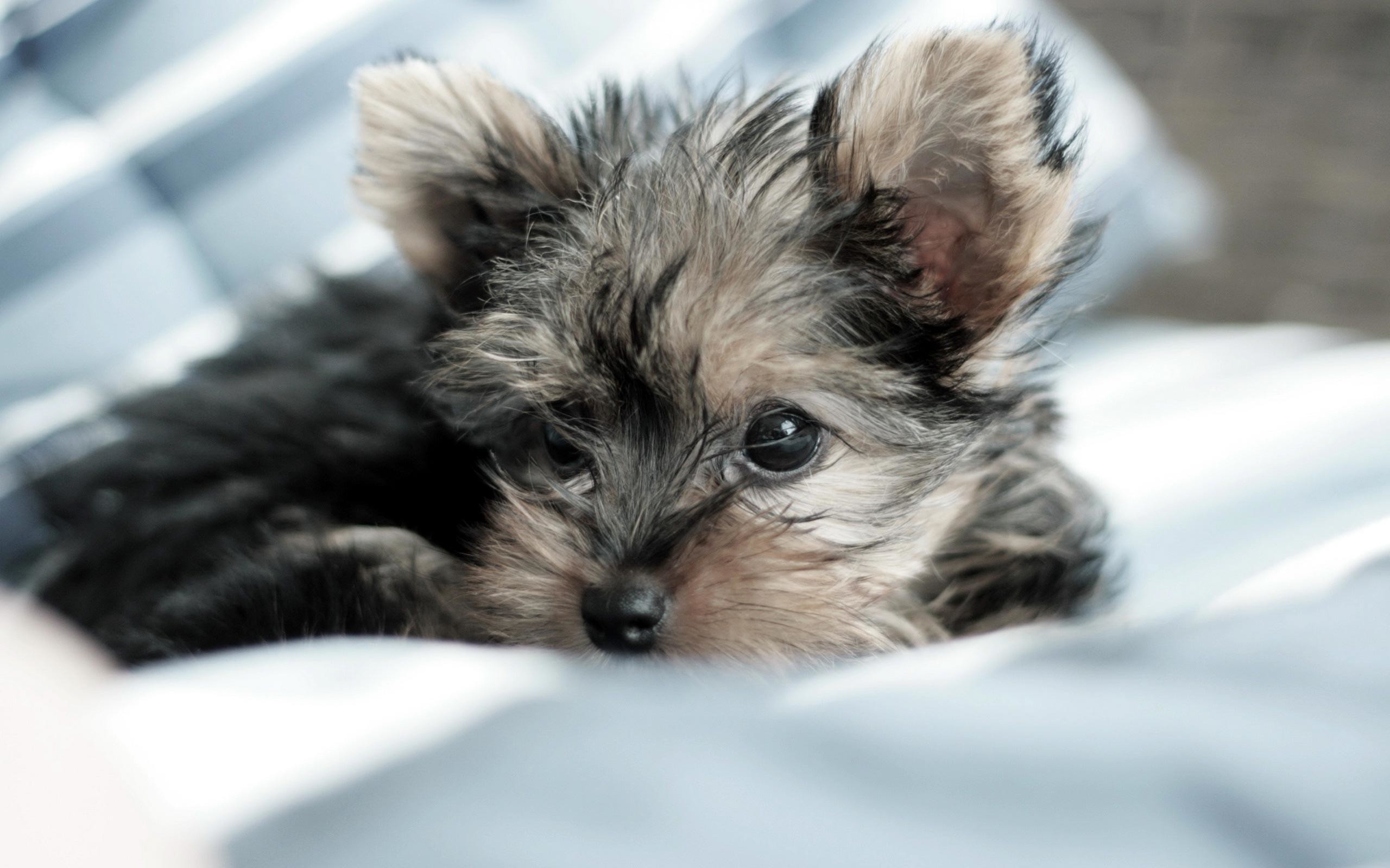 2560x1600 dog yorkshire terrier hd wallpaper 0005