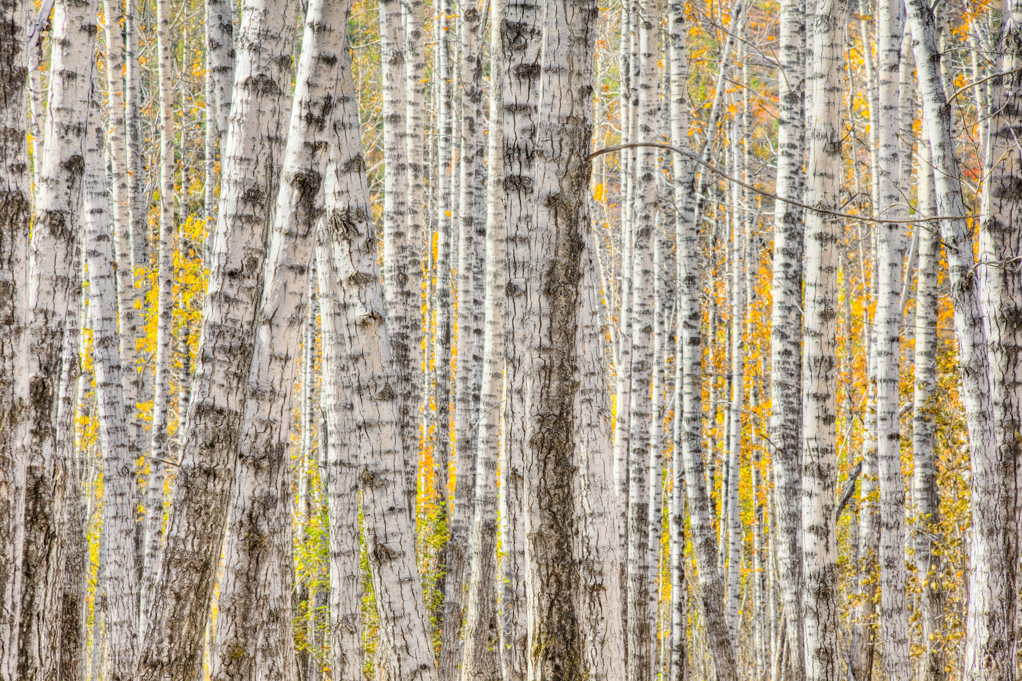 2000x1333 A Poplar Tree Forest In Autumn Wall Mural Photo Wallpaper