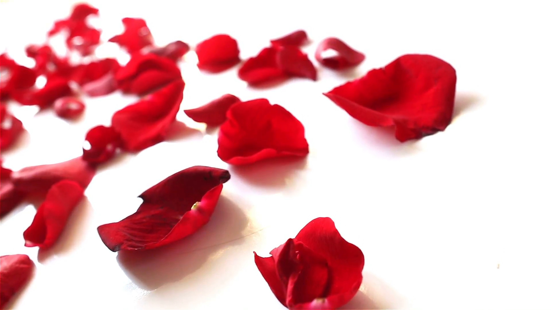 1920x1080 Red rose petals on white background, close up dolly shot Stock Video  Footage - Storyblocks Video