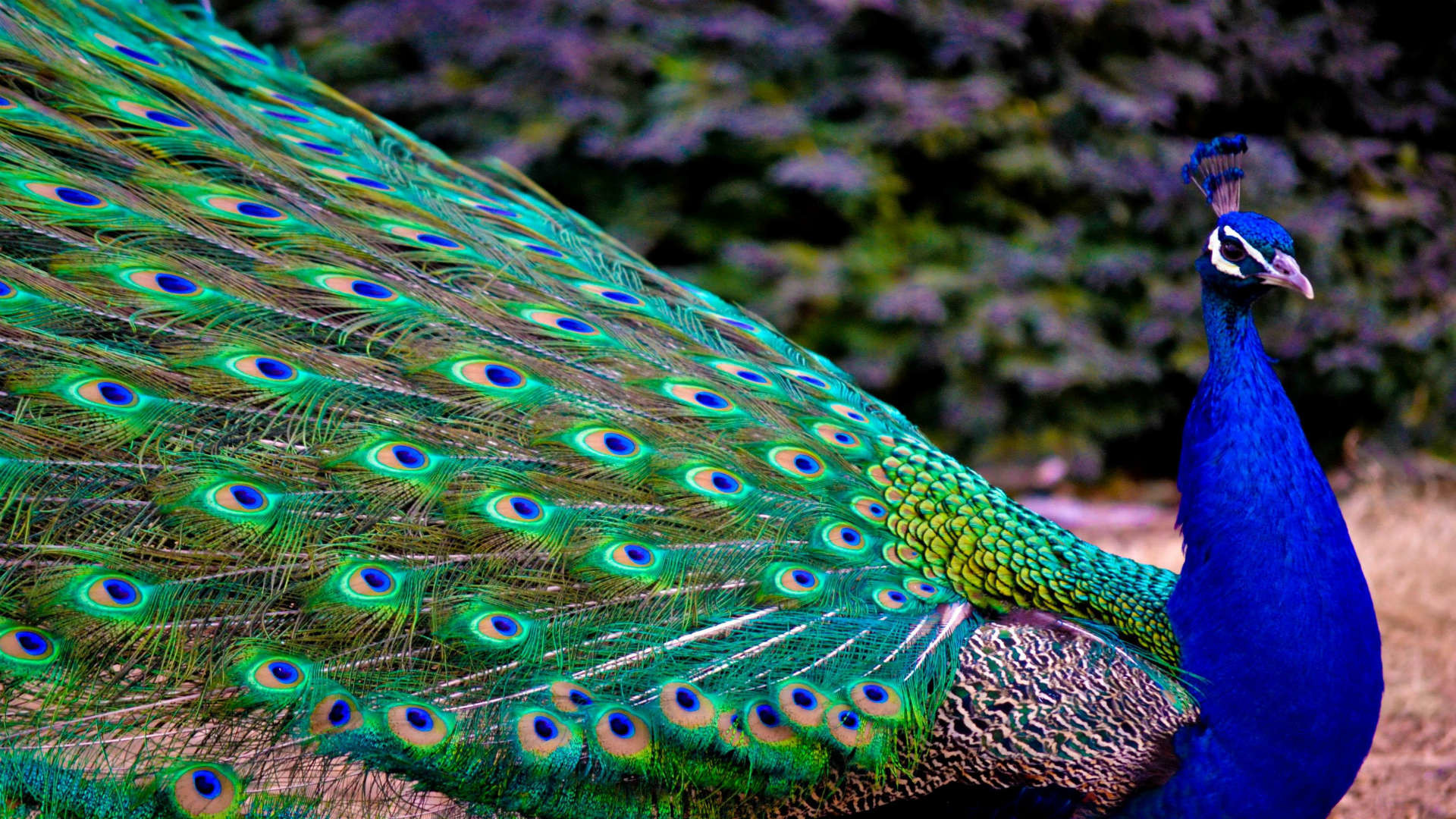 1920x1080 Most Beautiful Peacock Wallpapers 1080p