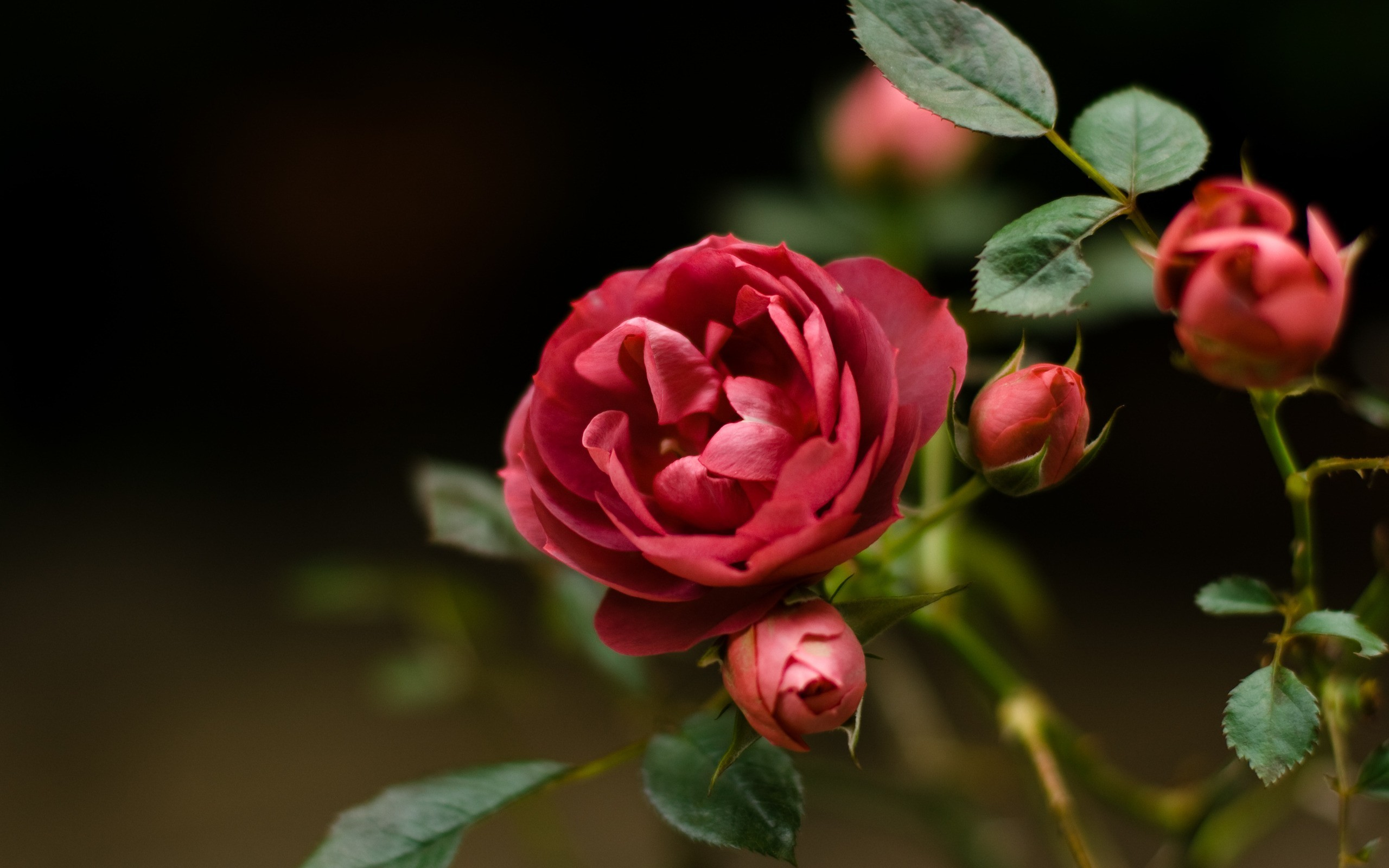 Wallpaper Rose Flower 68 Images 2560x1600 Most Beautiful Red Flowers Hd Wallpapers Bookvacationfo