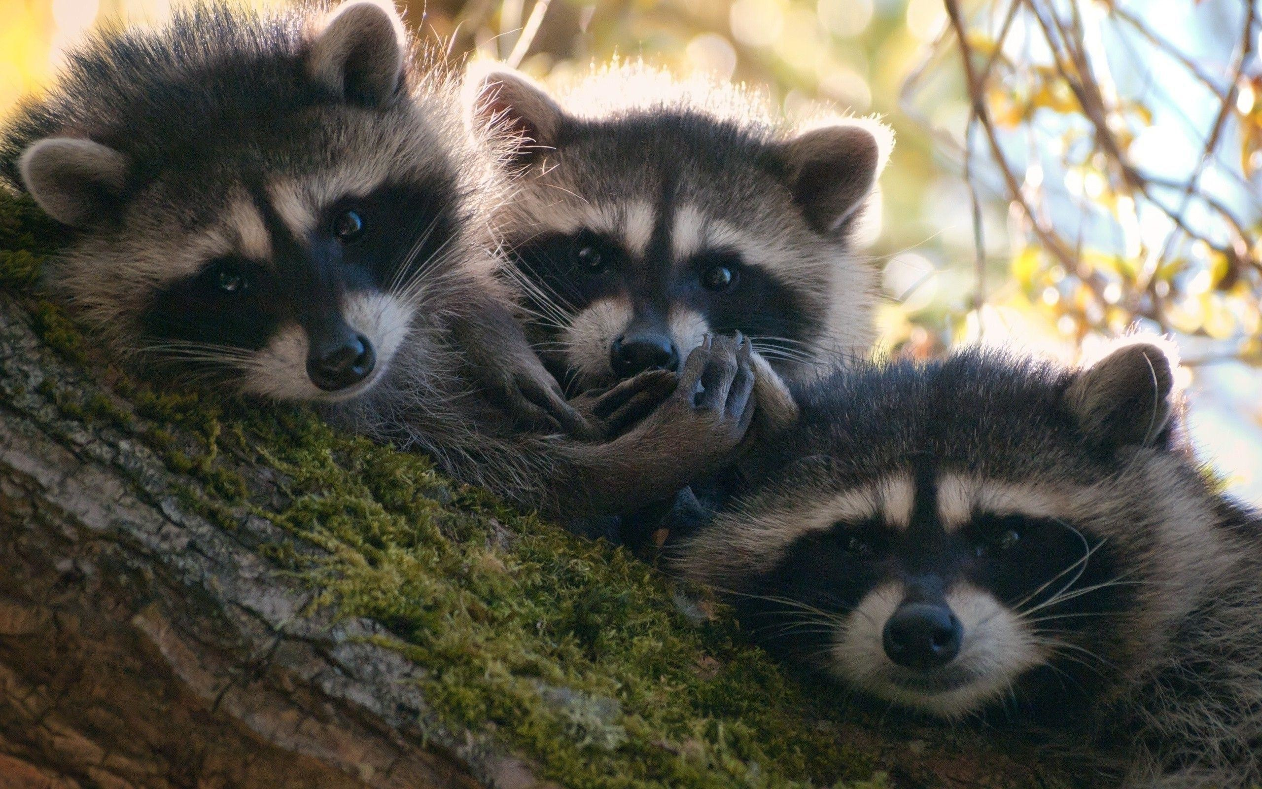 2560x1600 raccoons images Raccoons HD wallpaper and background photos