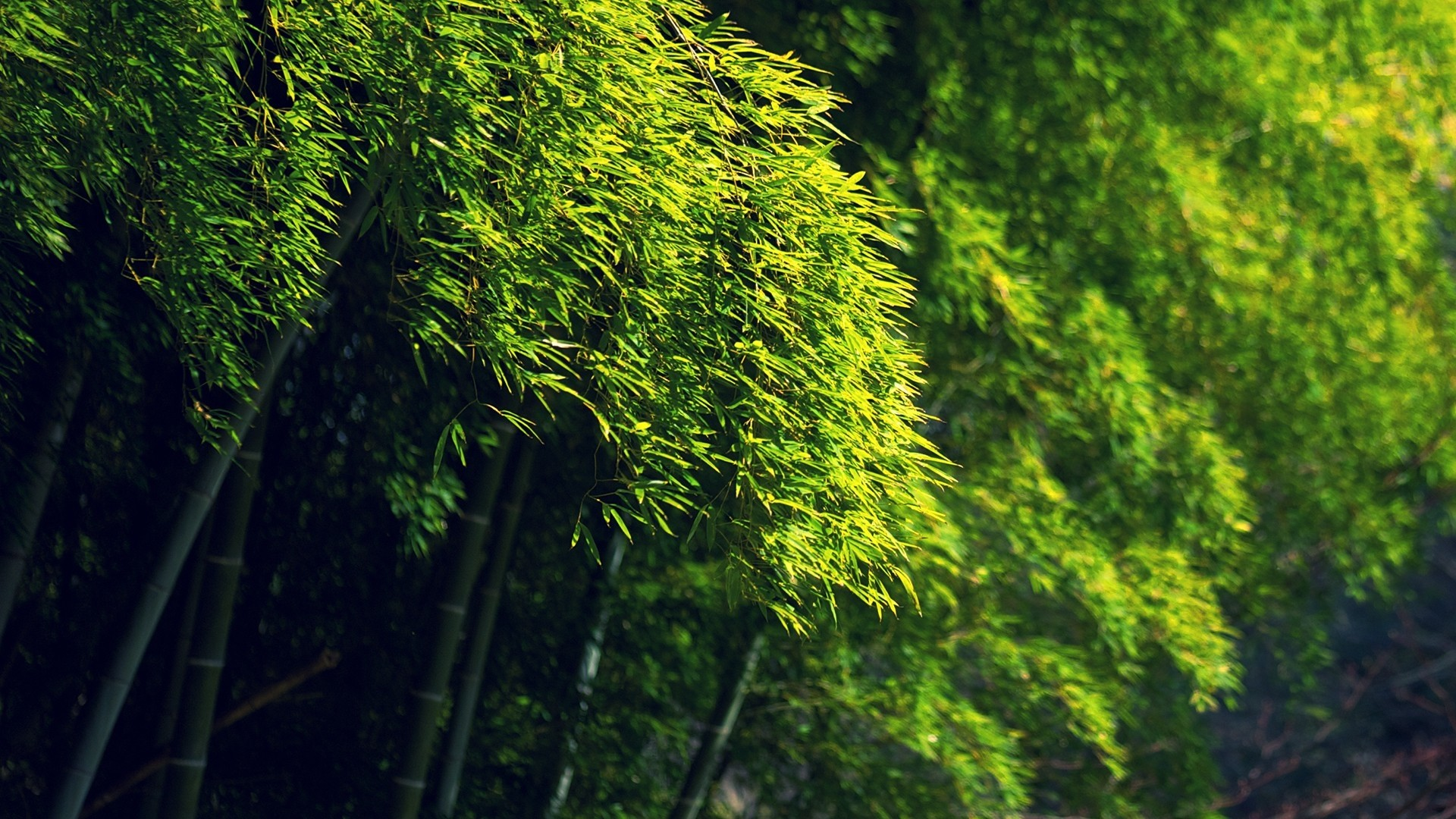 1920x1080 Bamboo green dense forest HD Desktop Wallpaper