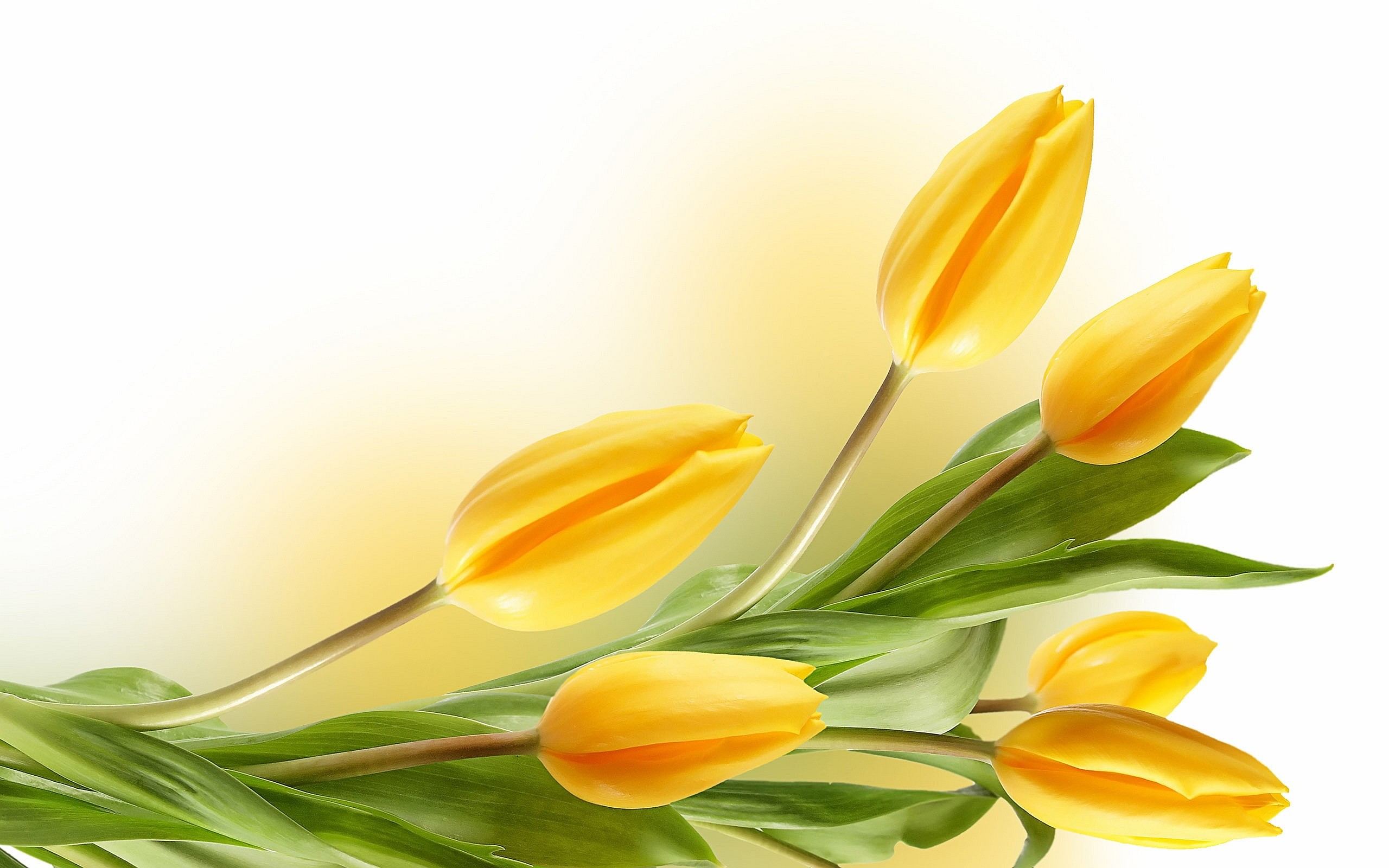2560x1600 Description: The Wallpaper above is Tulips Yellow Wallpaper in Resolution  . Choose your Resolution