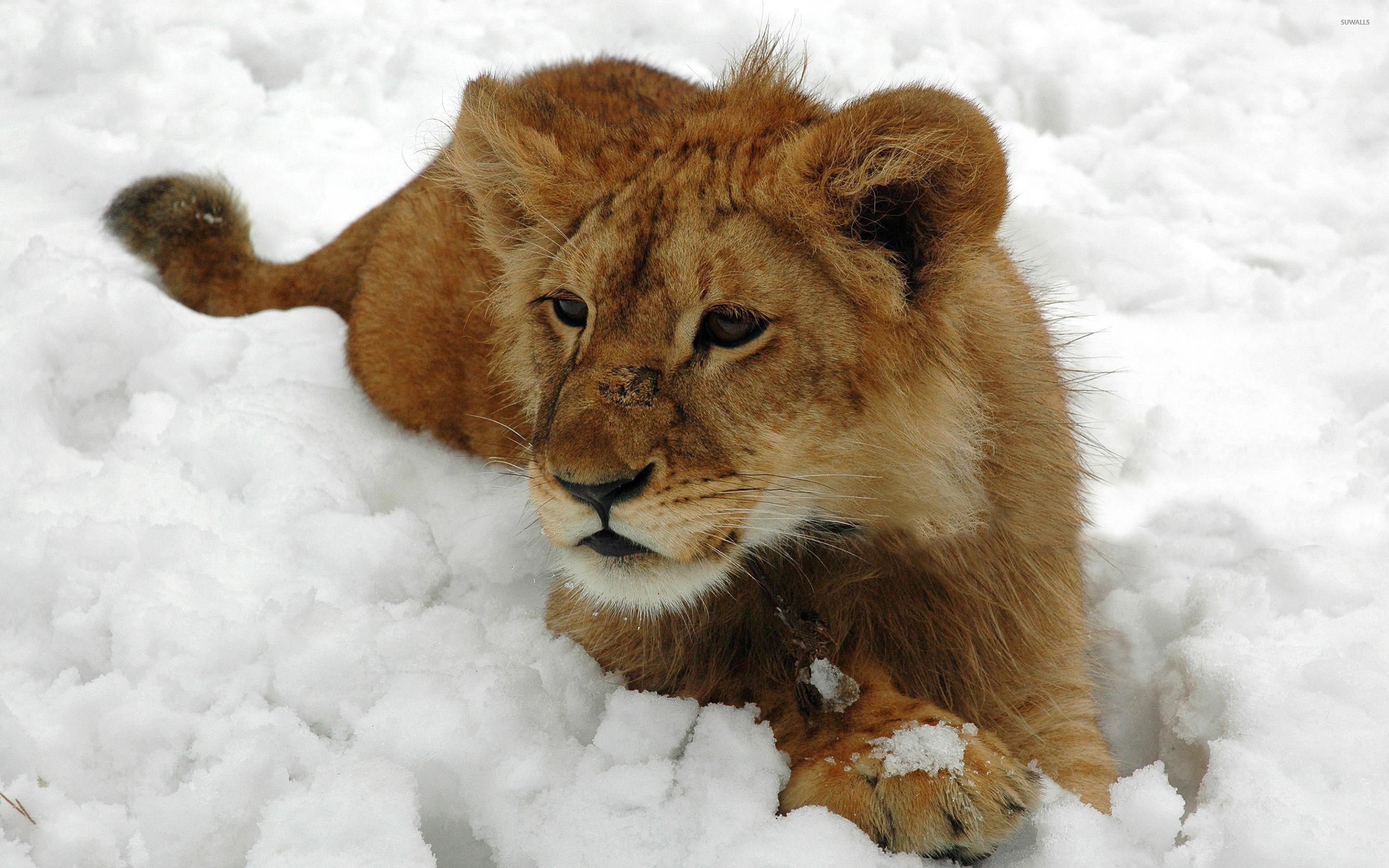 2880x1800 Lion cub in the snow wallpaper