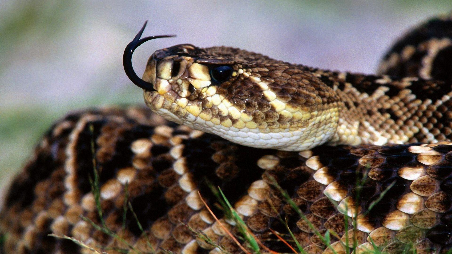 Viper Snake Wallpaper (70+ images)