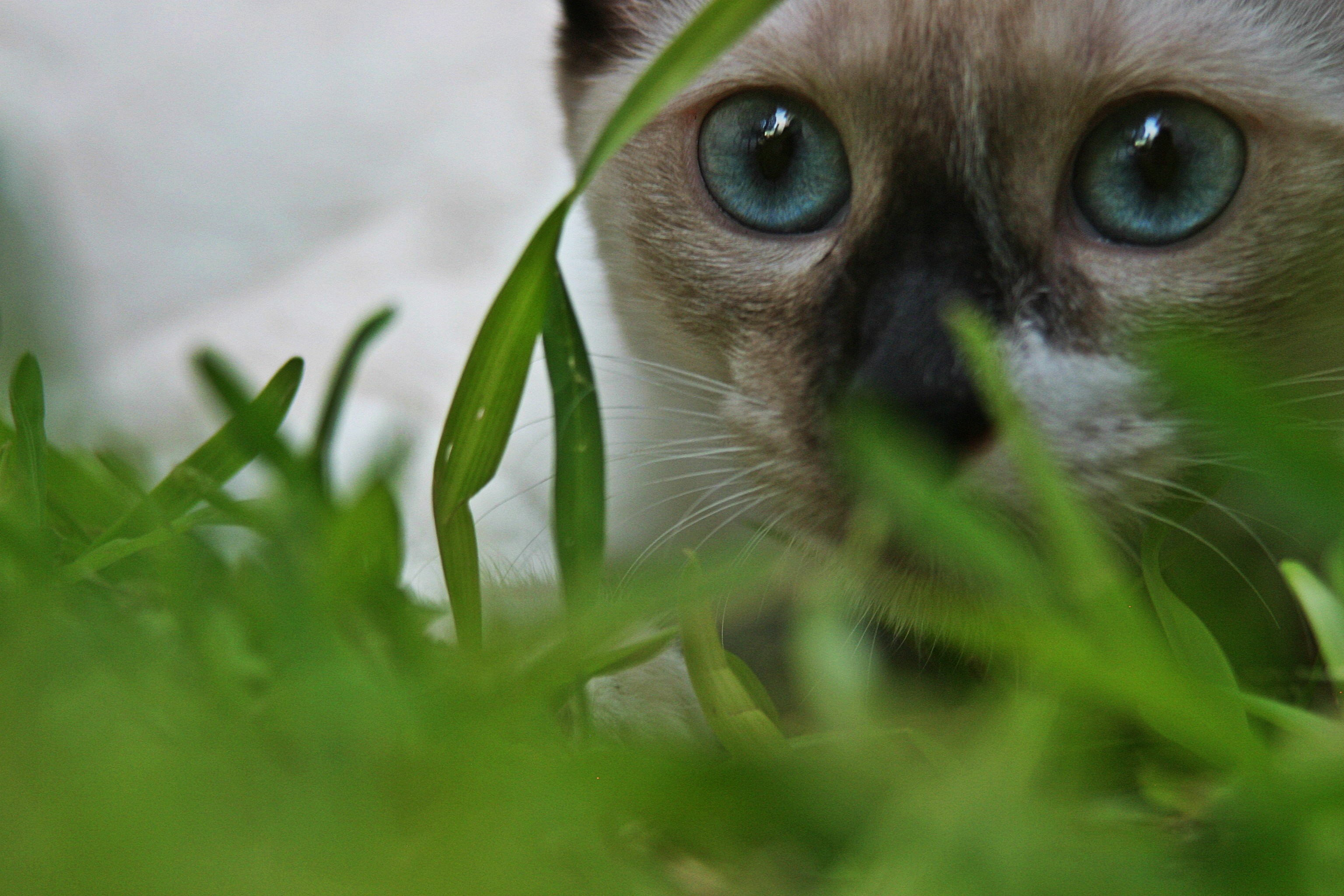 3072x2048 Siamese Cat Wallpapers | Siamese Cat Photos | Cool Wallpapers 2