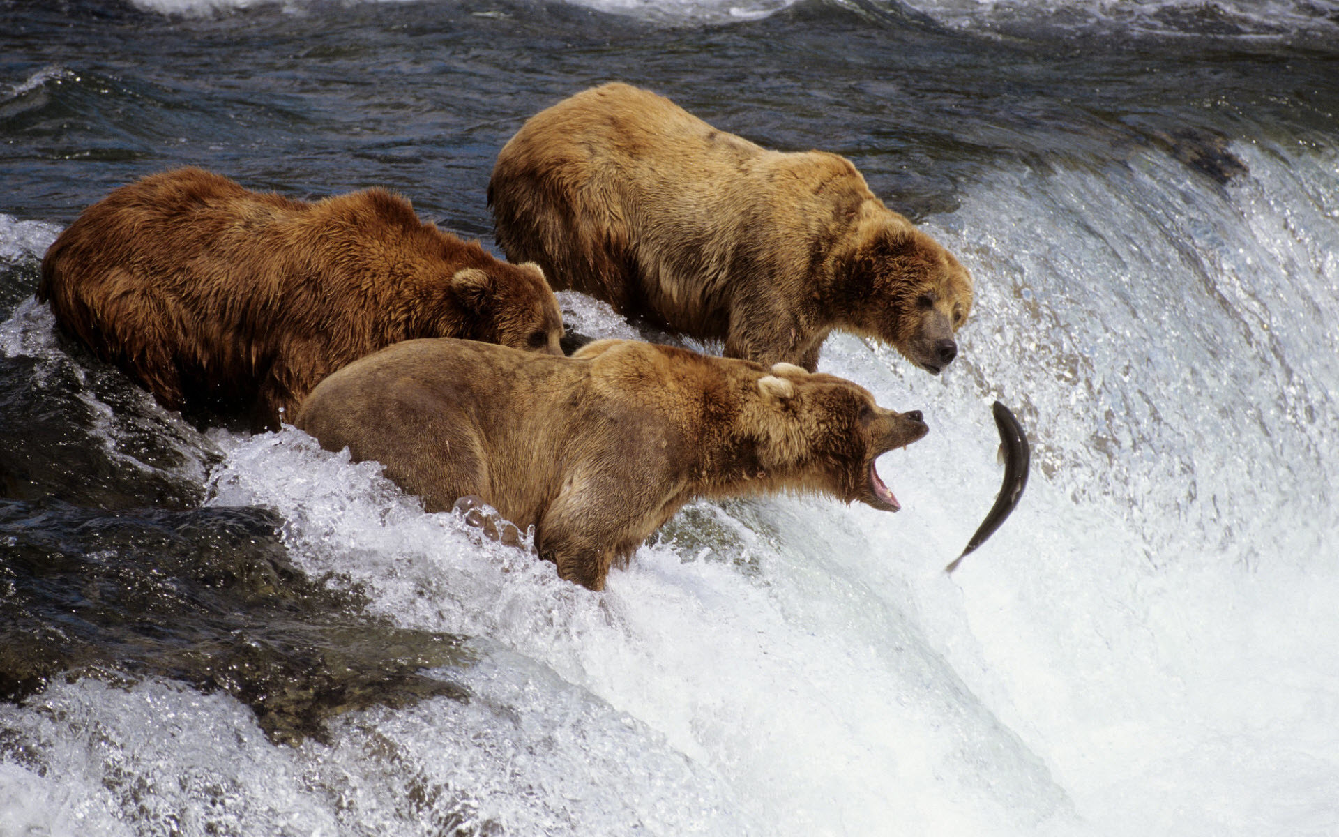 1920x1200 Brown Bears Alaska