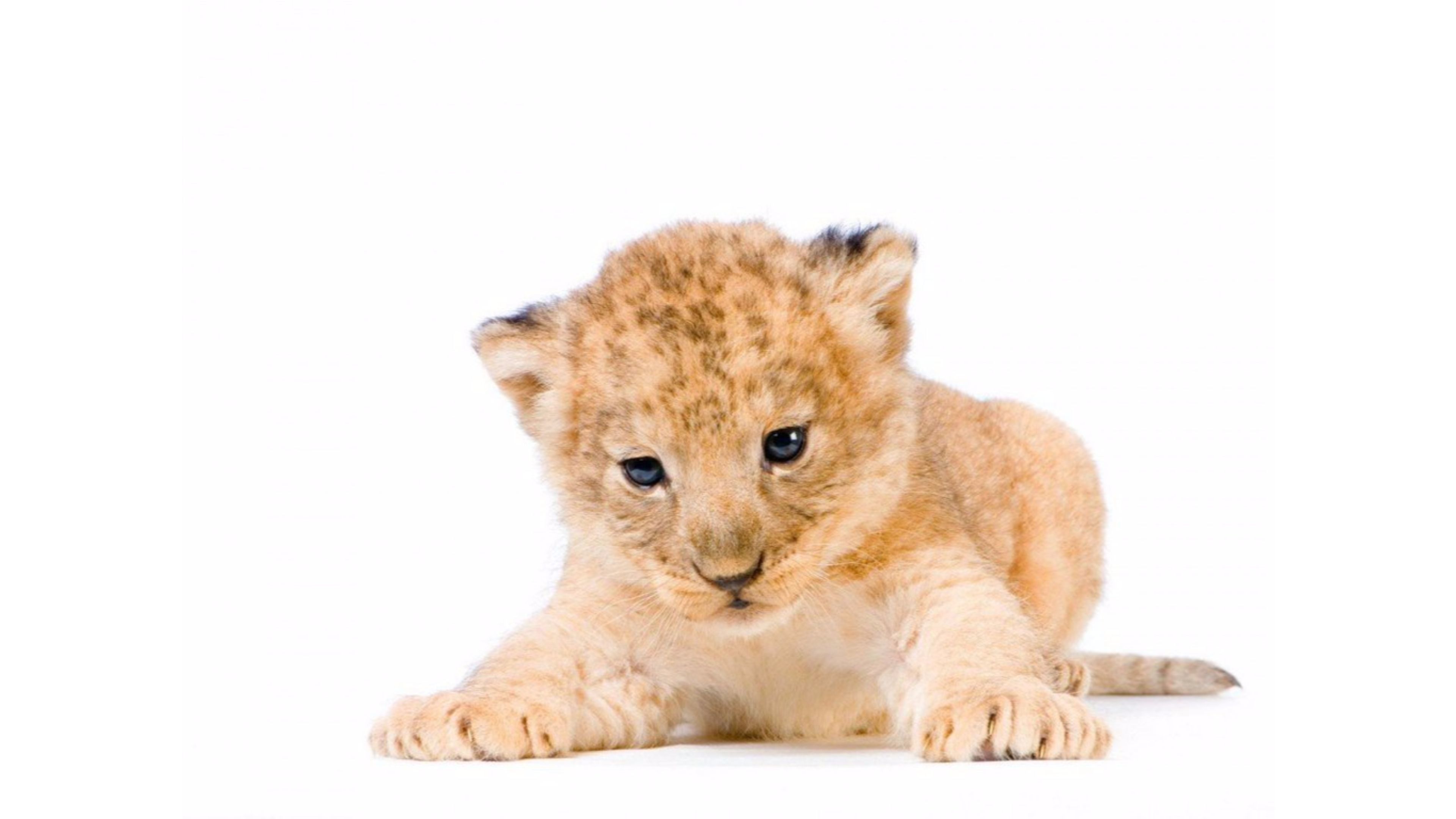 3840x2160 Adorable Lion Cub 4K Wallpaper