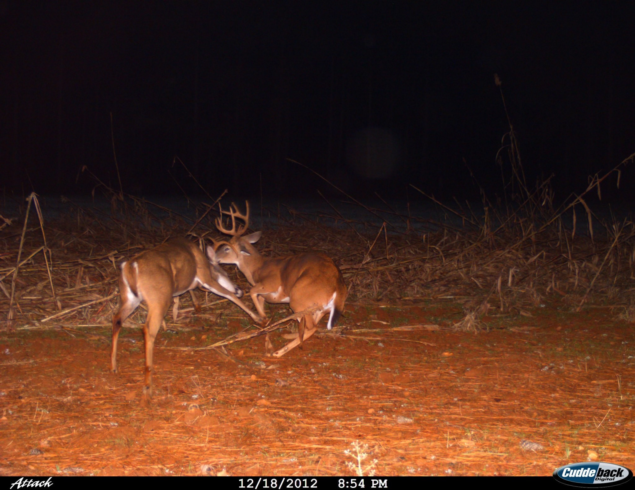 Pictures of whitetail bucks fighting Fallow Deer Hunting Tennessee Goodman Ranch