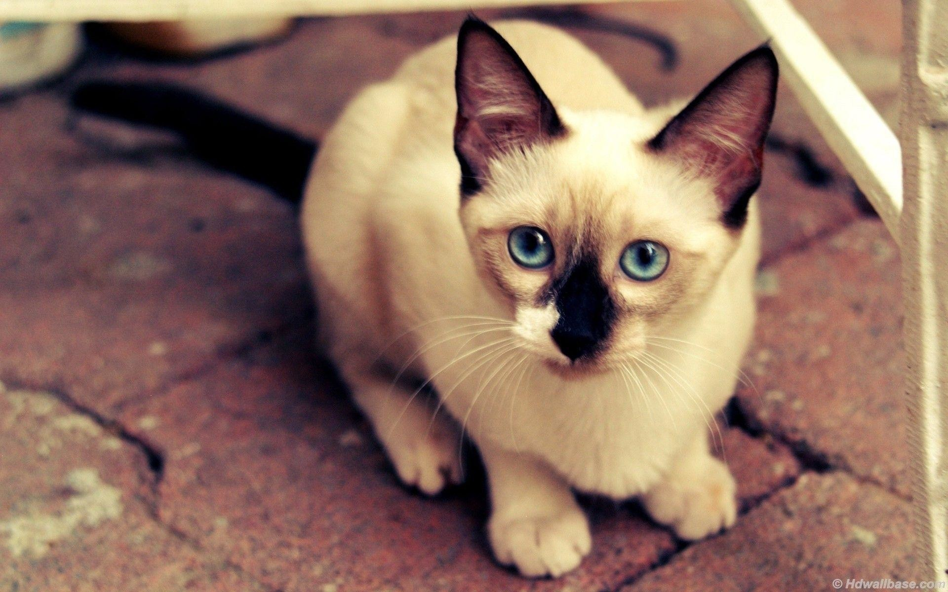 1920x1200 Blue Eyes Siamese Cat wallpapers | Blue Eyes Siamese Cat stock photos