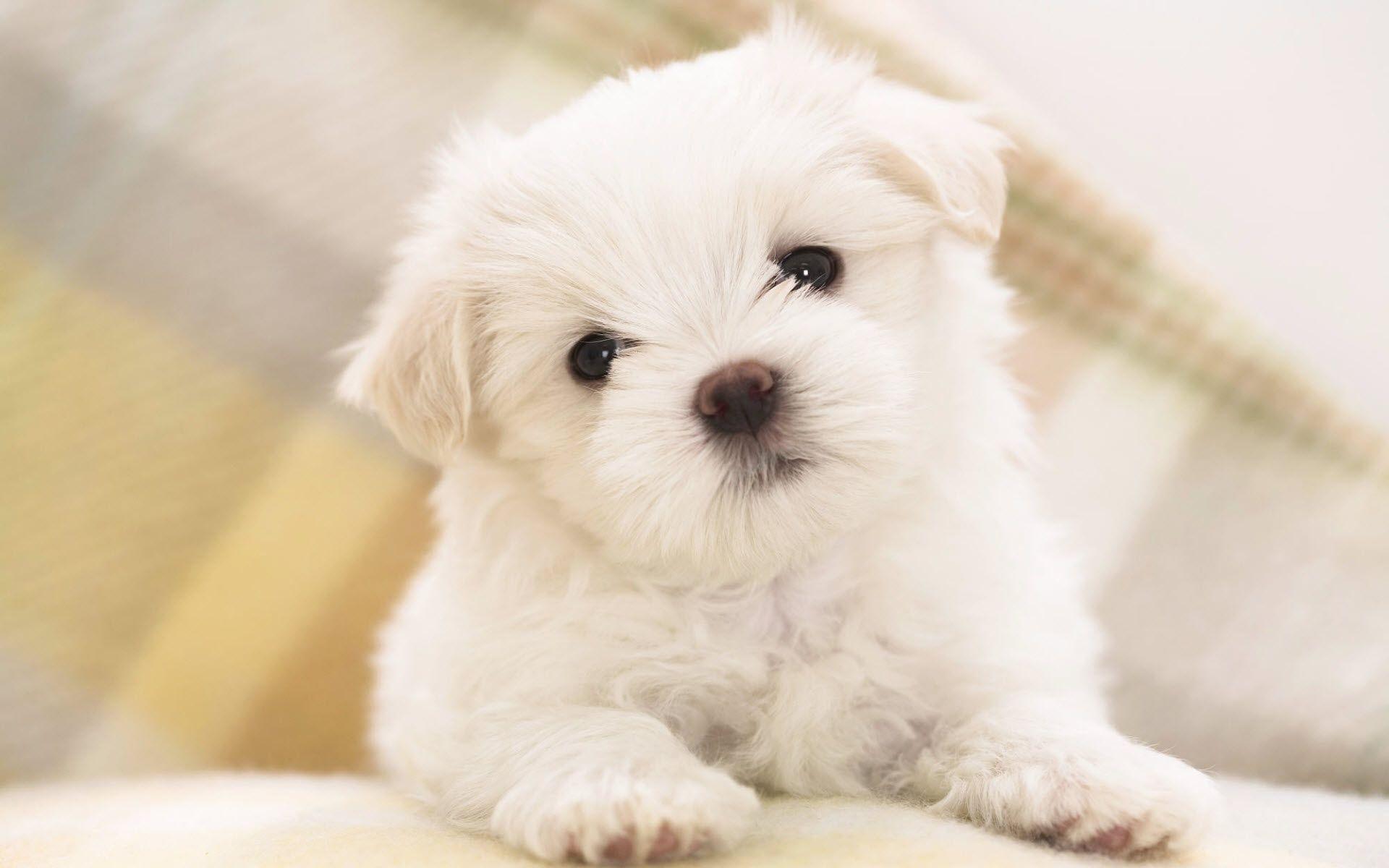 1920x1200 maltese puppy animal wallpaper | Desktop Backgrounds for Free HD .