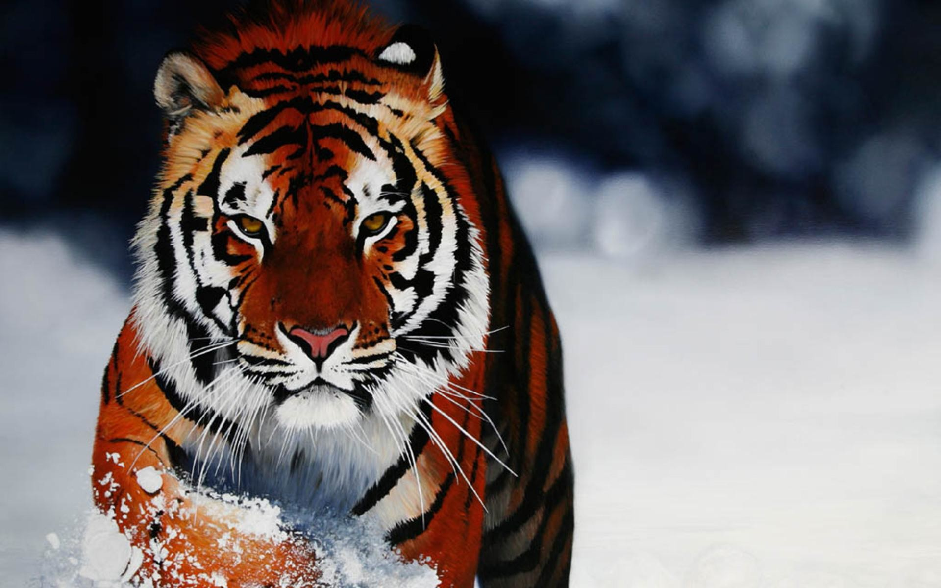 Snow Tiger Wallpaper 63 Images