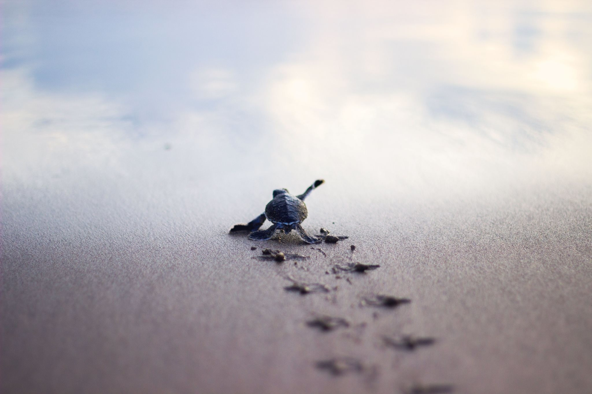2048x1365 Baby turtle running to the safety of the sea shore : pics