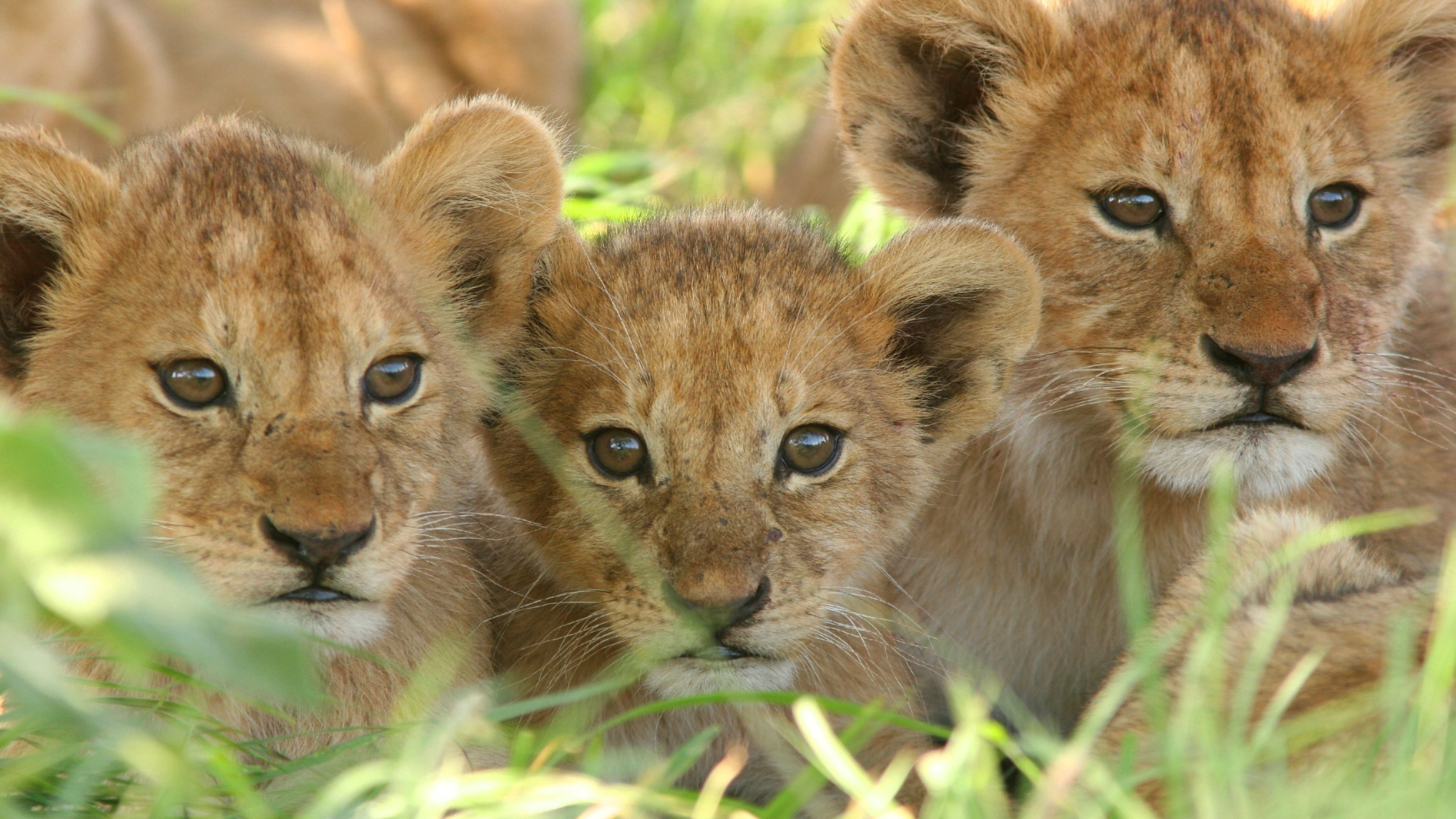 3840x2160 Lion Cub Baby Big Cat Wallpaper