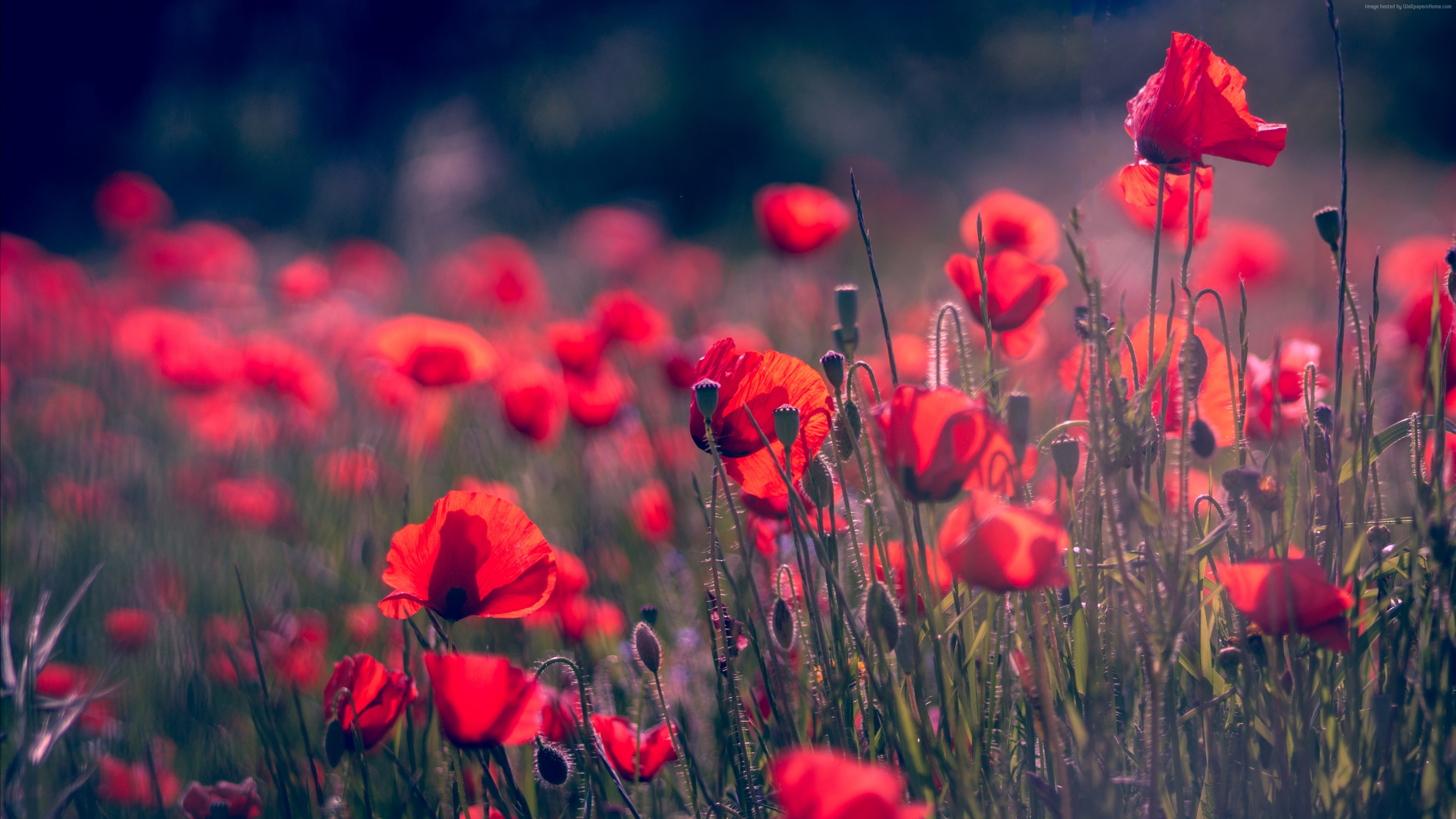 3840x2160 Wallpaper Poppy, Red Flower, Summer, 4K, 5K, Nature