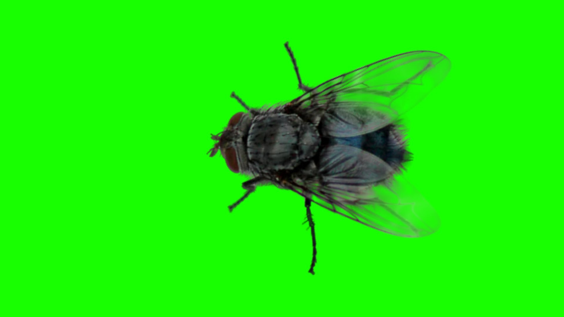 1920x1080 Disturbing panic real fly green screen free royalty footage