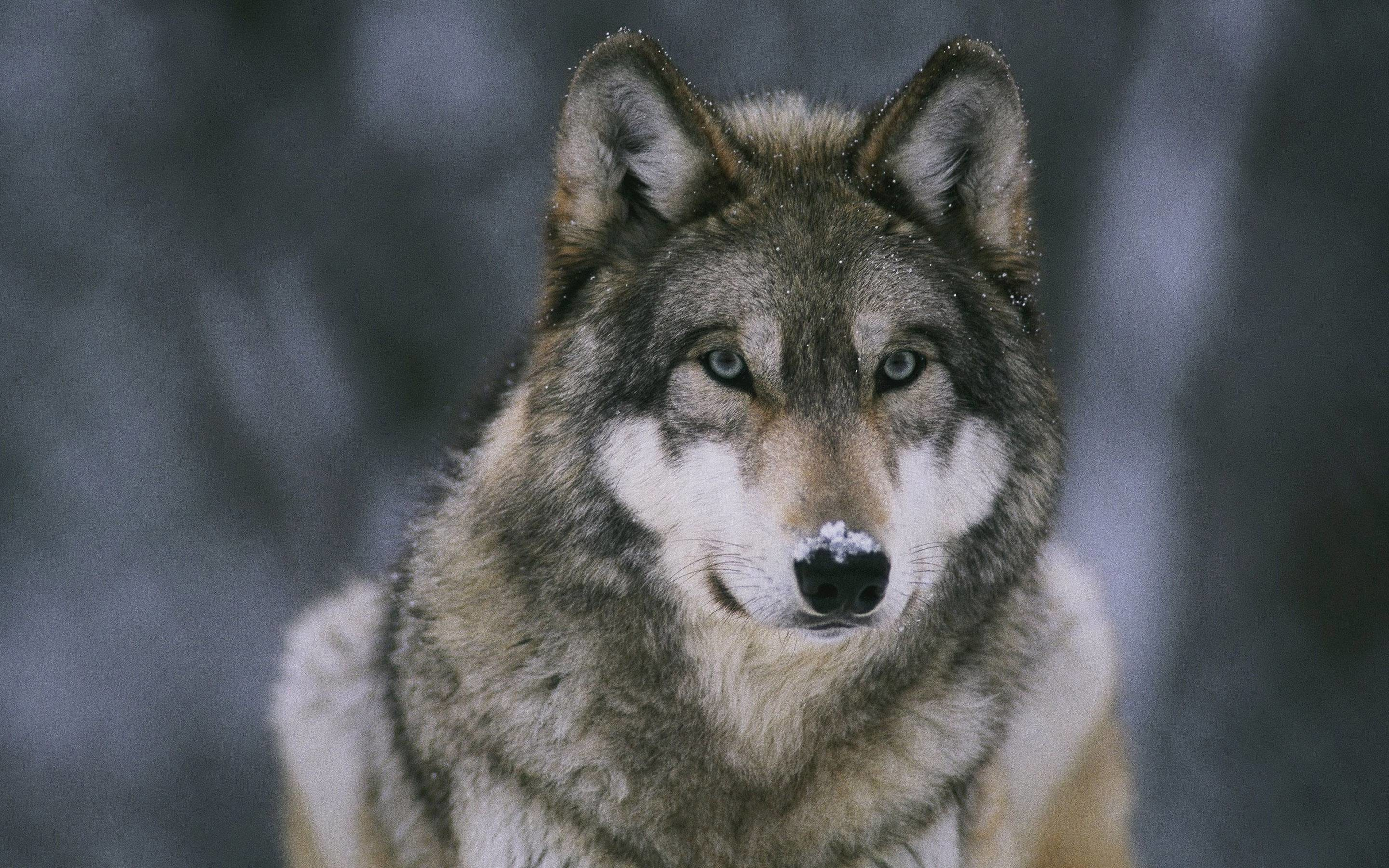2880x1800 Wolf Wallpapers - Full HD wallpaper search