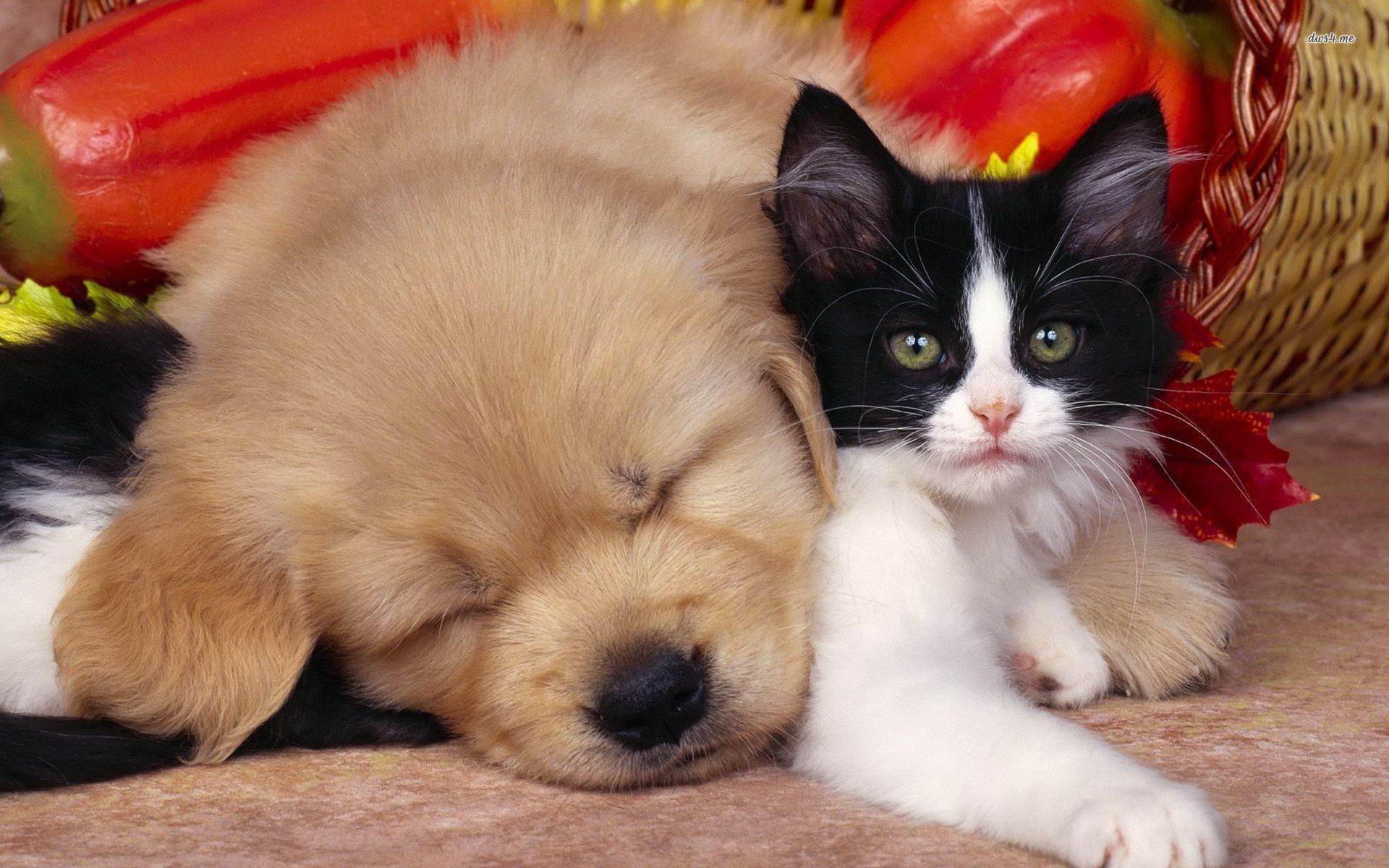 Cute Cats and Dogs Wal...