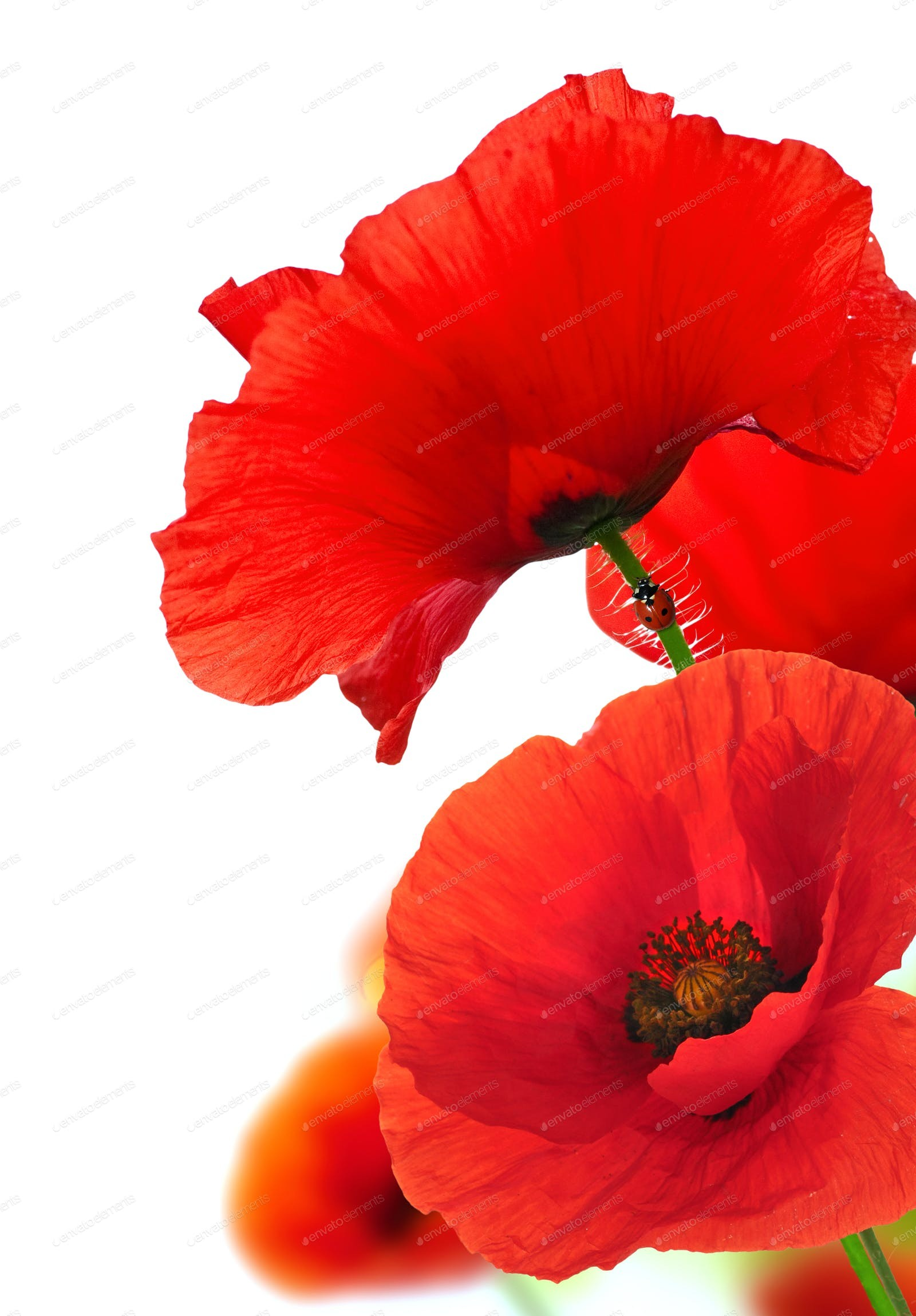 1600x2298 Red Poppy Flowers Over White. Floral Background.