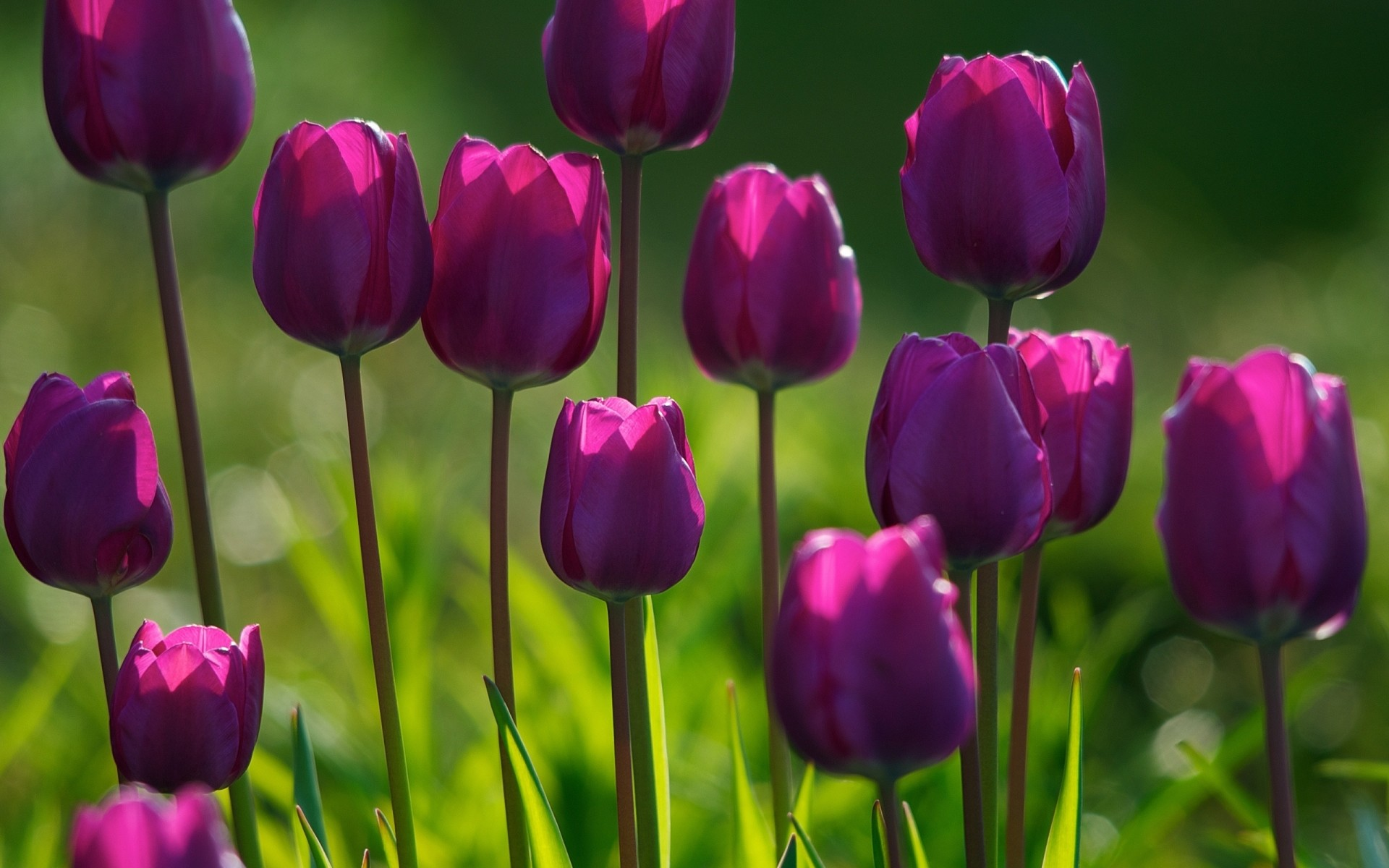 Spring Tulips Wallpaper (61+ Images