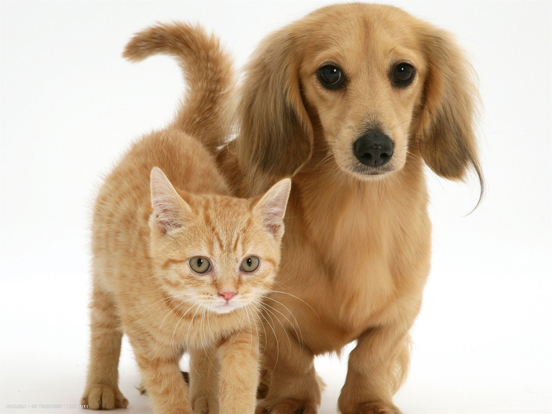 1920x1440 cream kitten with cream dapple dachshund puppy desktop wallpaper