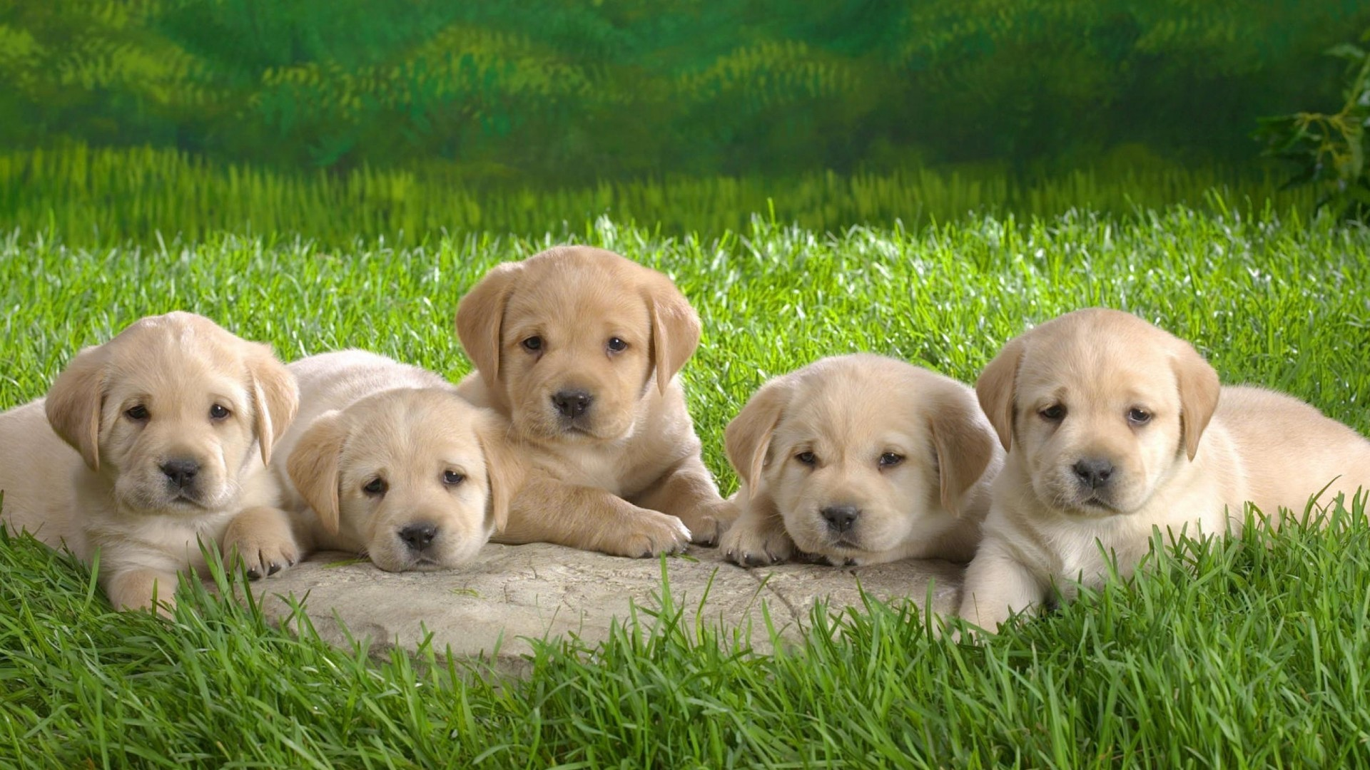 wallpapers of cute puppies (57+ images)