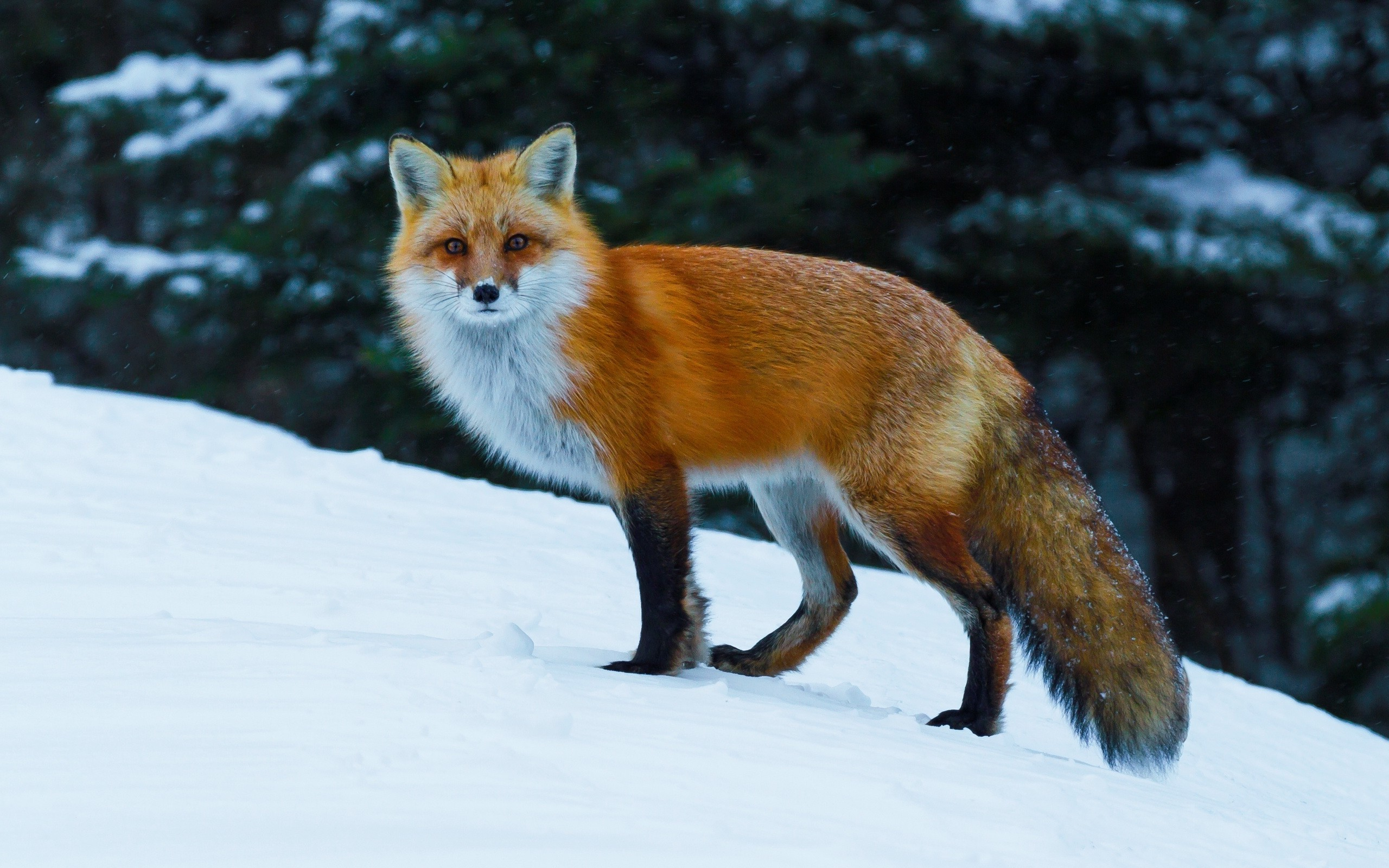 2560x1600 animals, Nature, Fox, Wildlife, Snow Wallpapers HD / Desktop and Mobile  Backgrounds