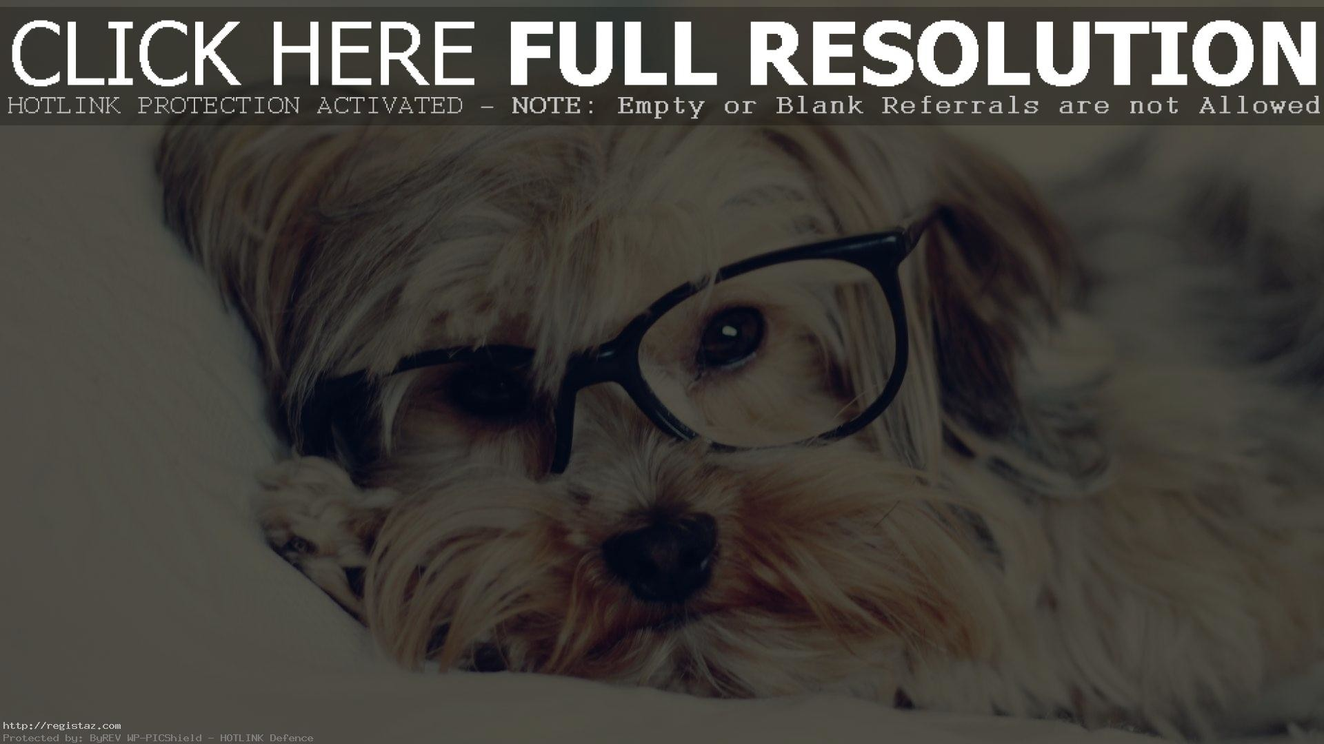1920x1080 yorkshire terrier puppies sleep with glasses wallpaper