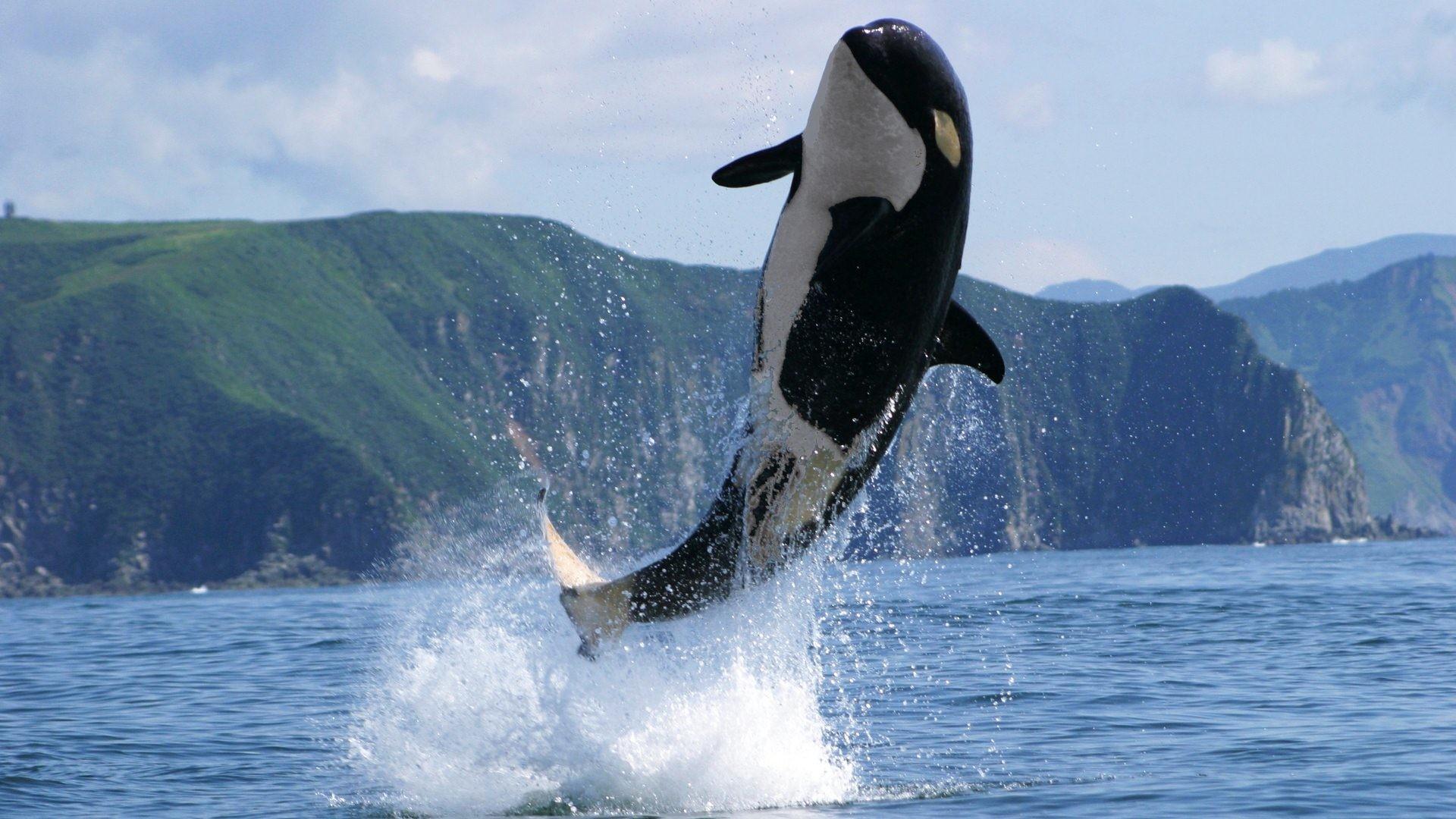 Killer Whales Wallpaper 53 Images