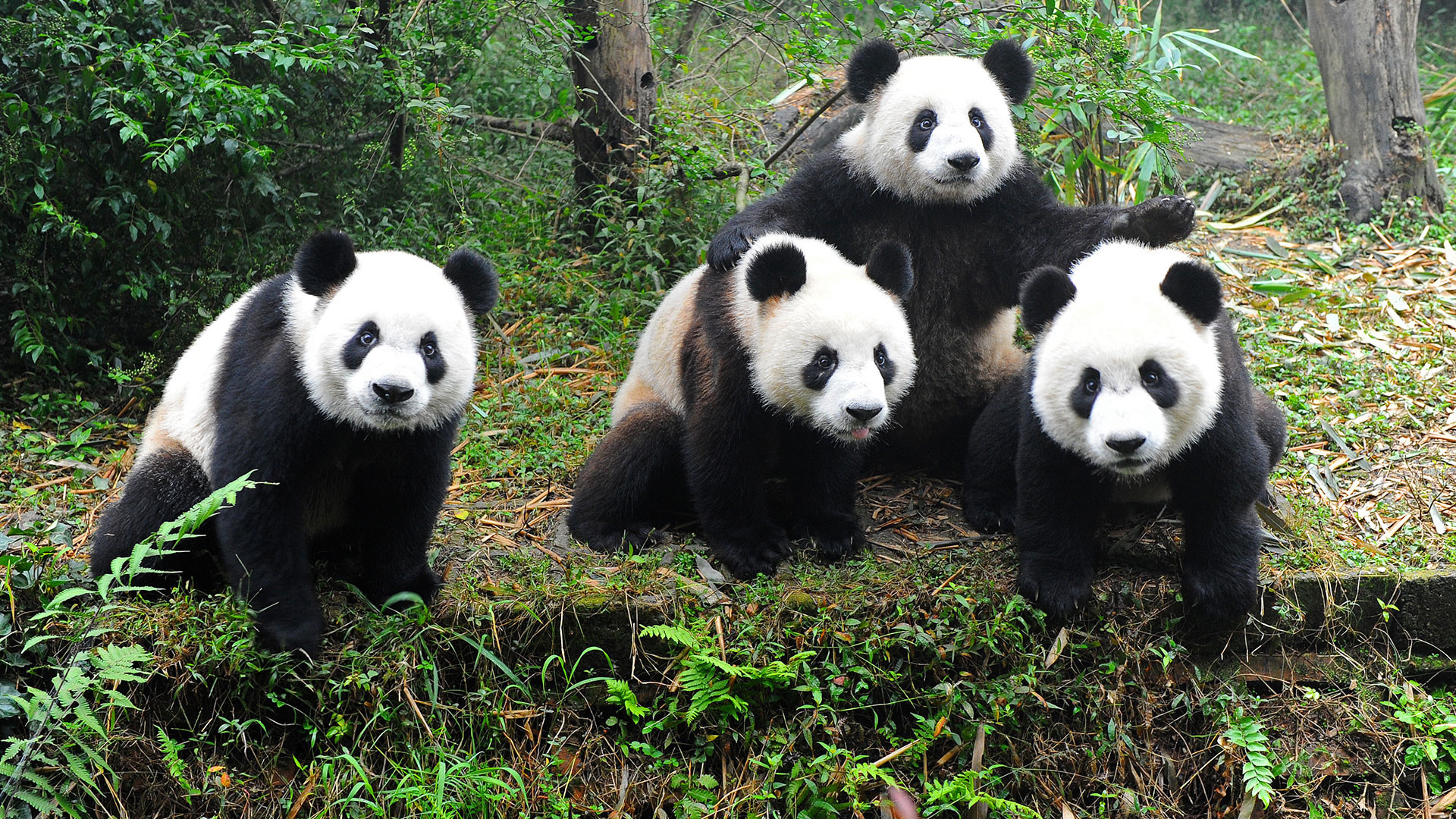 Panda Quotes Cartoon Panda Wallpapers 77 Images