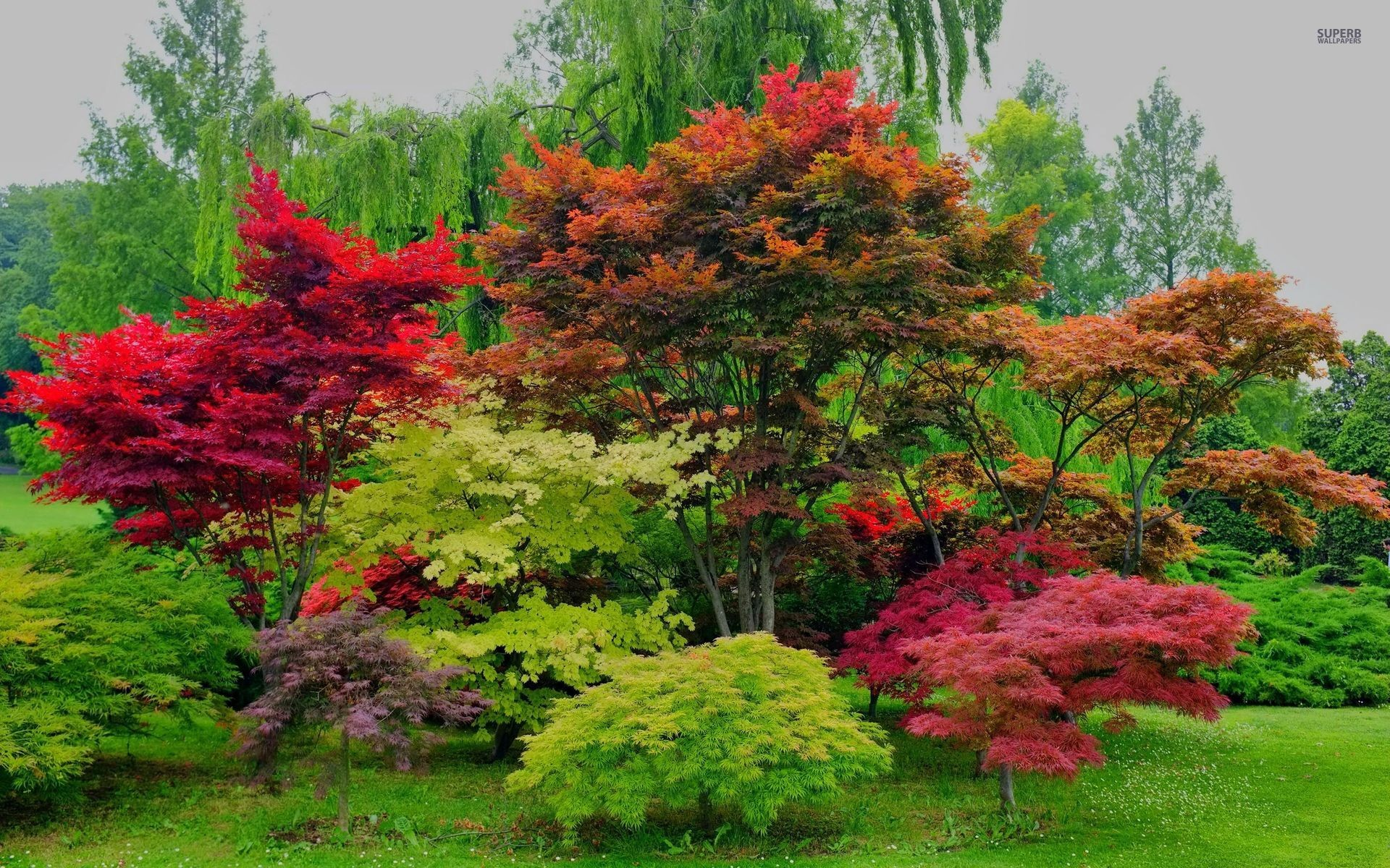 1920x1200 beautiful red maple trees wallpapers | beautiful red maple trees